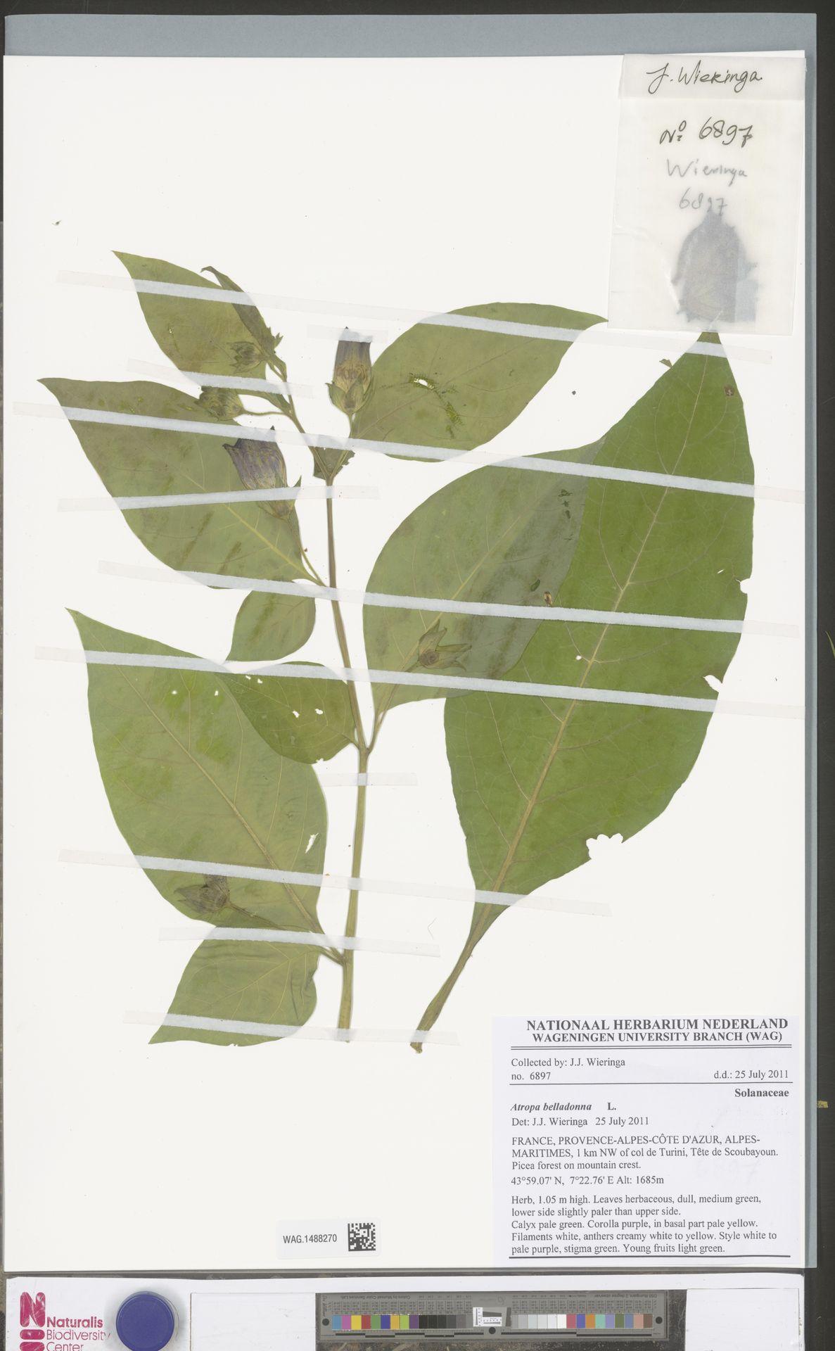 WAG.1488270 | Atropa belladonna L.