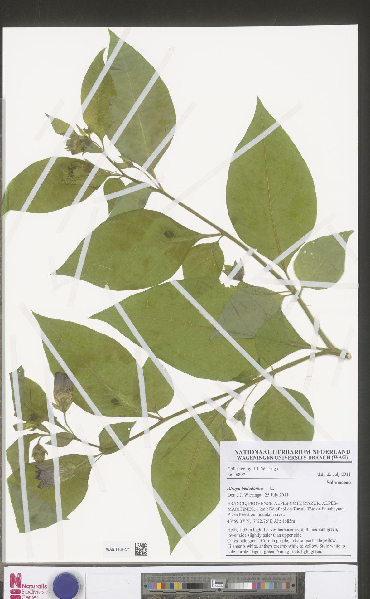 WAG.1488271 | Atropa belladonna L.