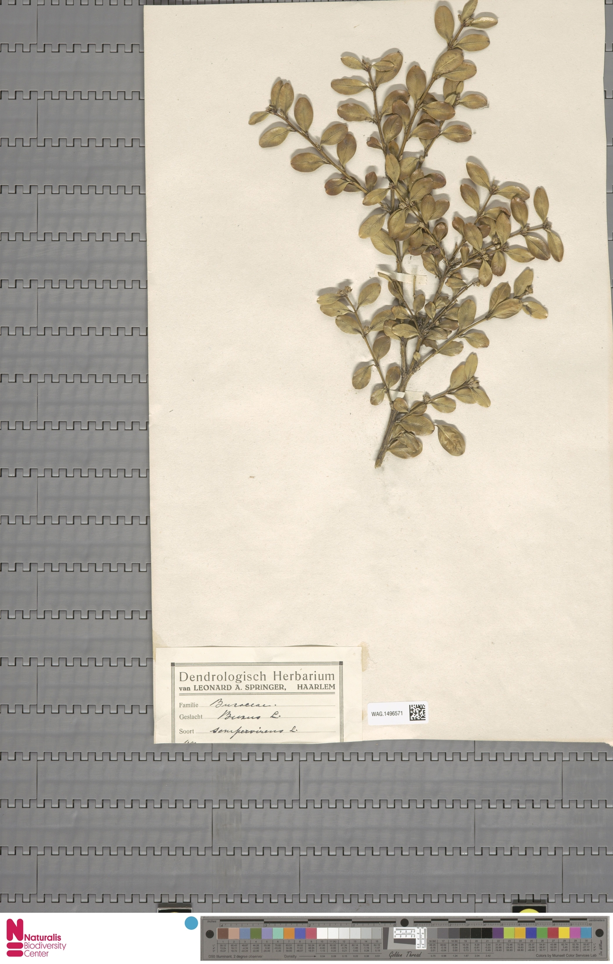 WAG.1496571   Buxus sempervirens L.