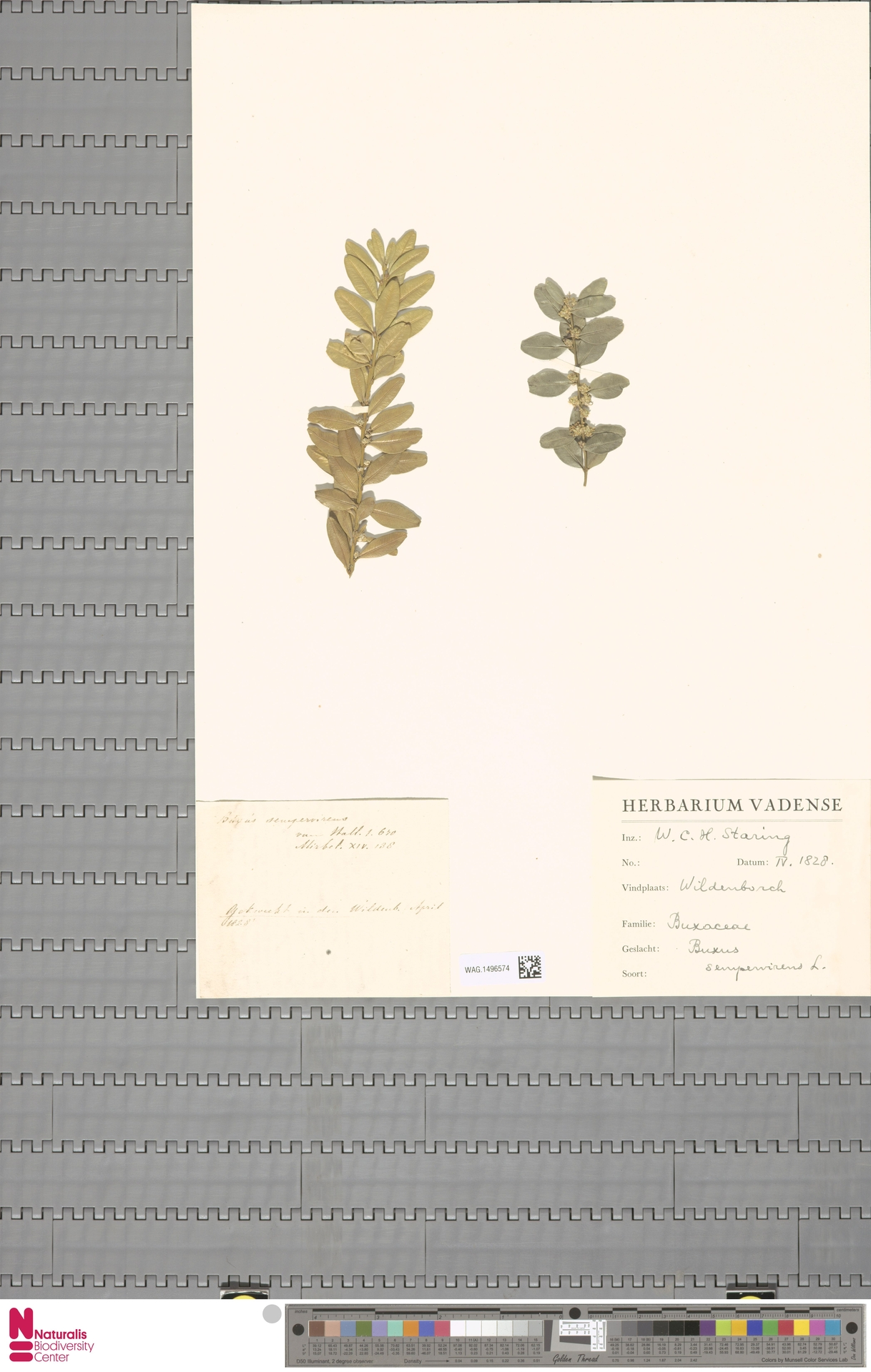 WAG.1496574 | Buxus sempervirens L.