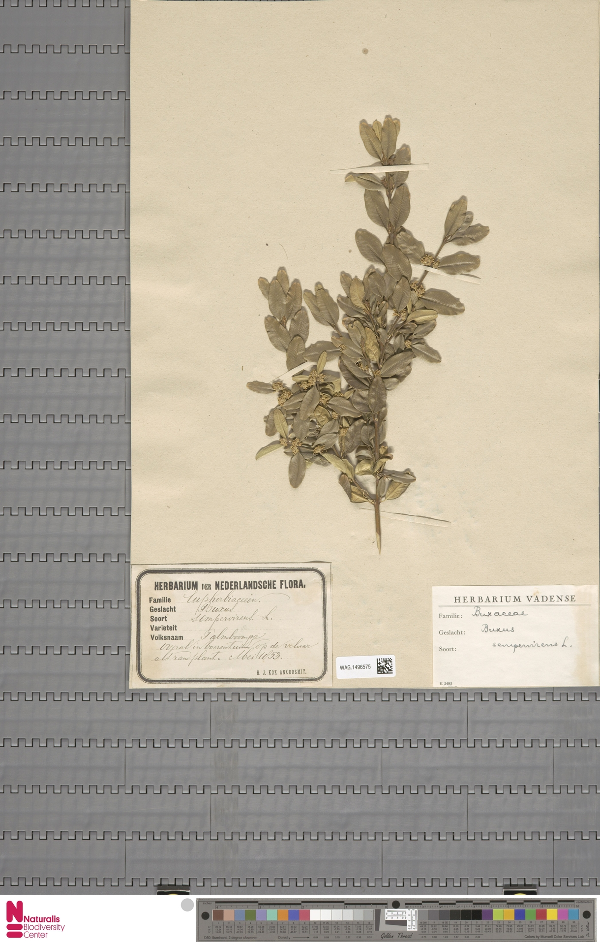 WAG.1496575 | Buxus sempervirens L.