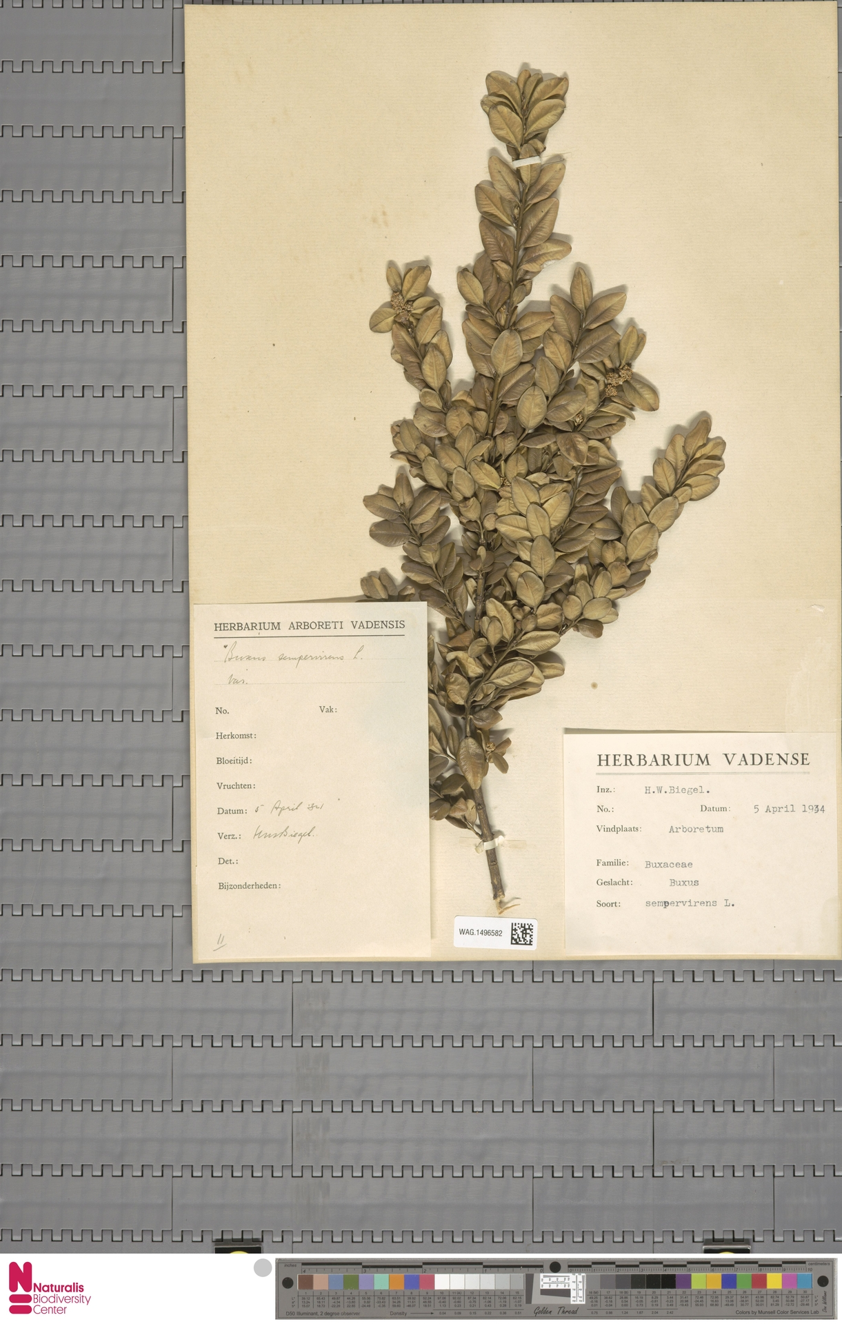 WAG.1496582   Buxus sempervirens L.