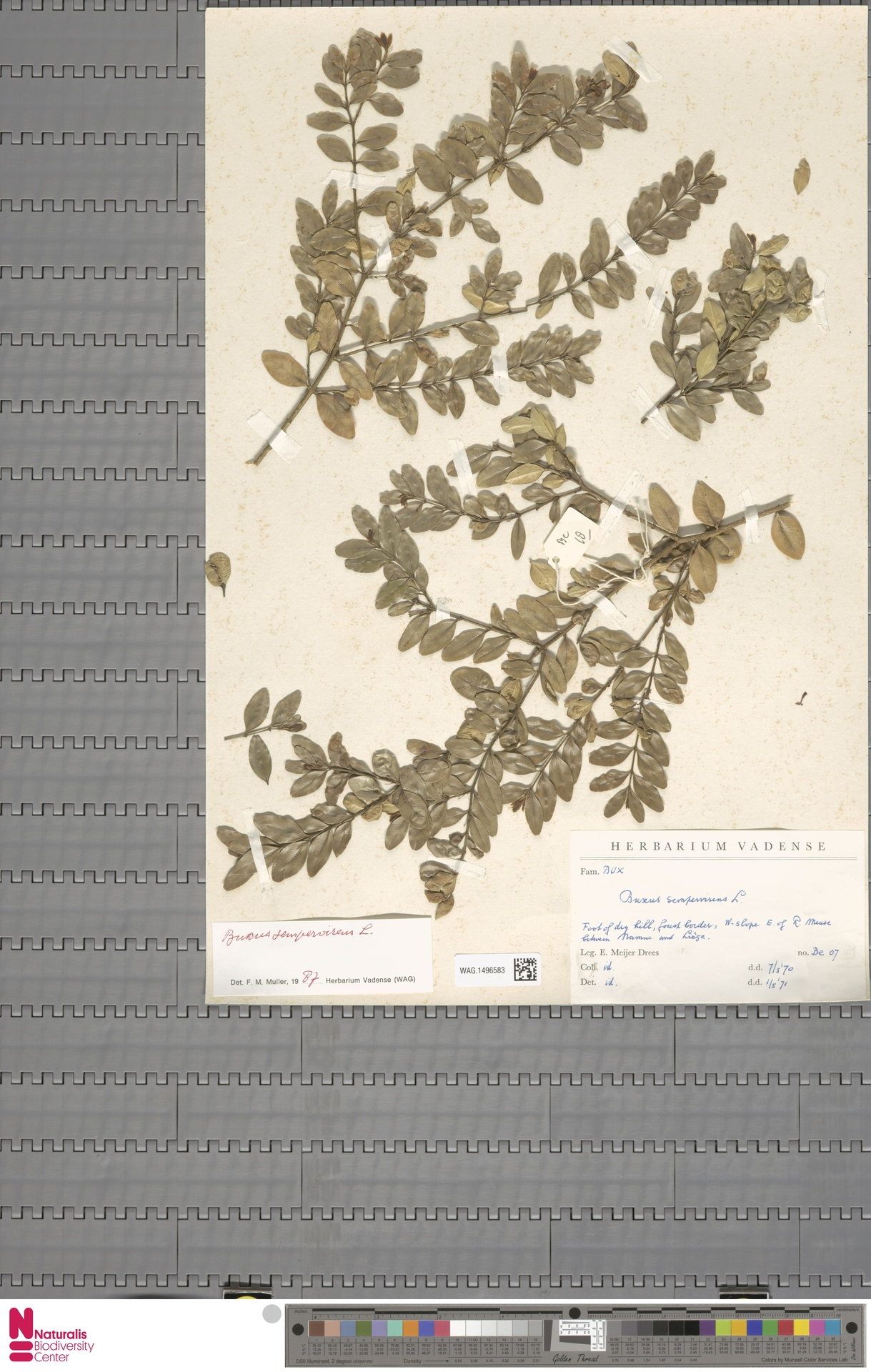 WAG.1496583 | Buxus sempervirens L.