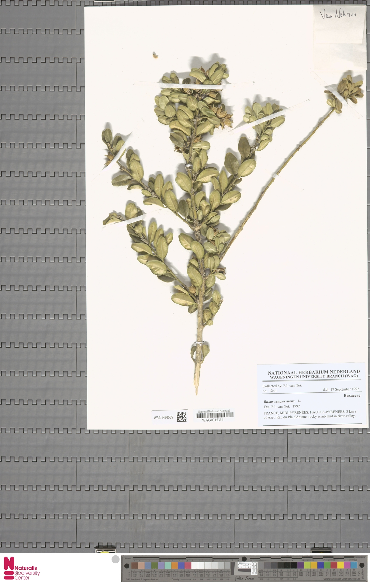 WAG.1496585   Buxus sempervirens L.