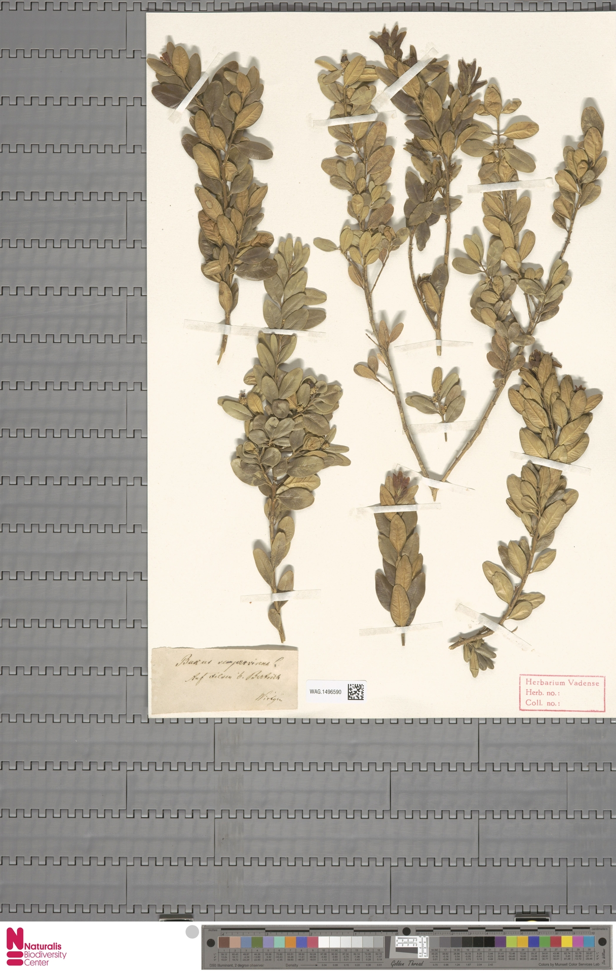 WAG.1496590 | Buxus sempervirens L.