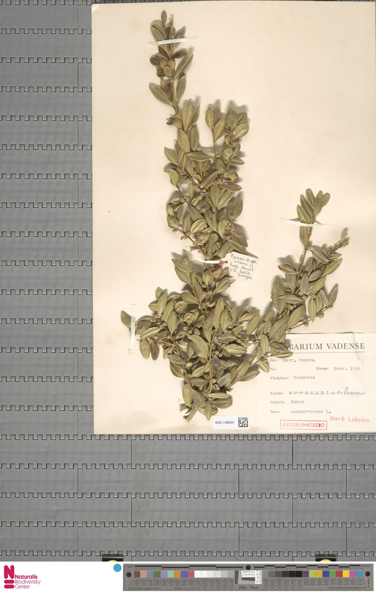 WAG.1496591   Buxus sempervirens L.