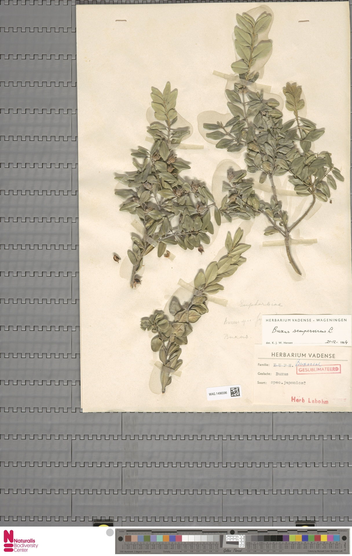 WAG.1496596 | Buxus sempervirens L.