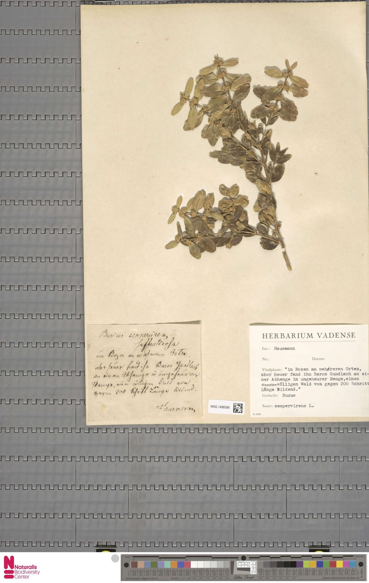 WAG.1496599   Buxus sempervirens L.