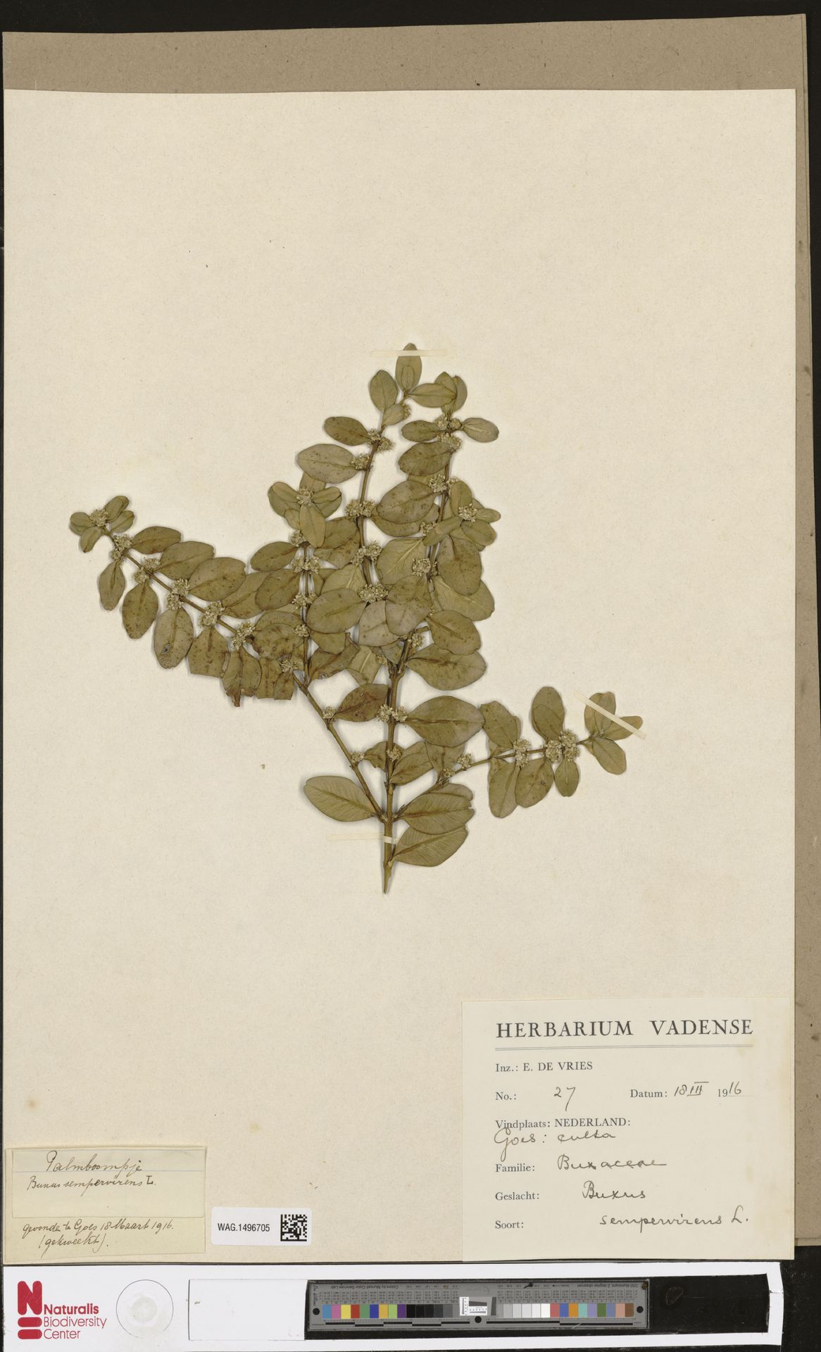 WAG.1496705 | Buxus sempervirens L.
