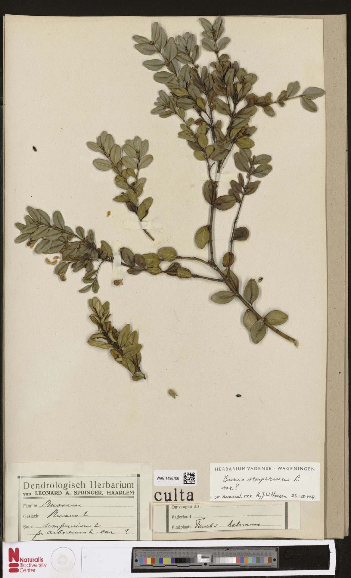 WAG.1496706   Buxus sempervirens L.