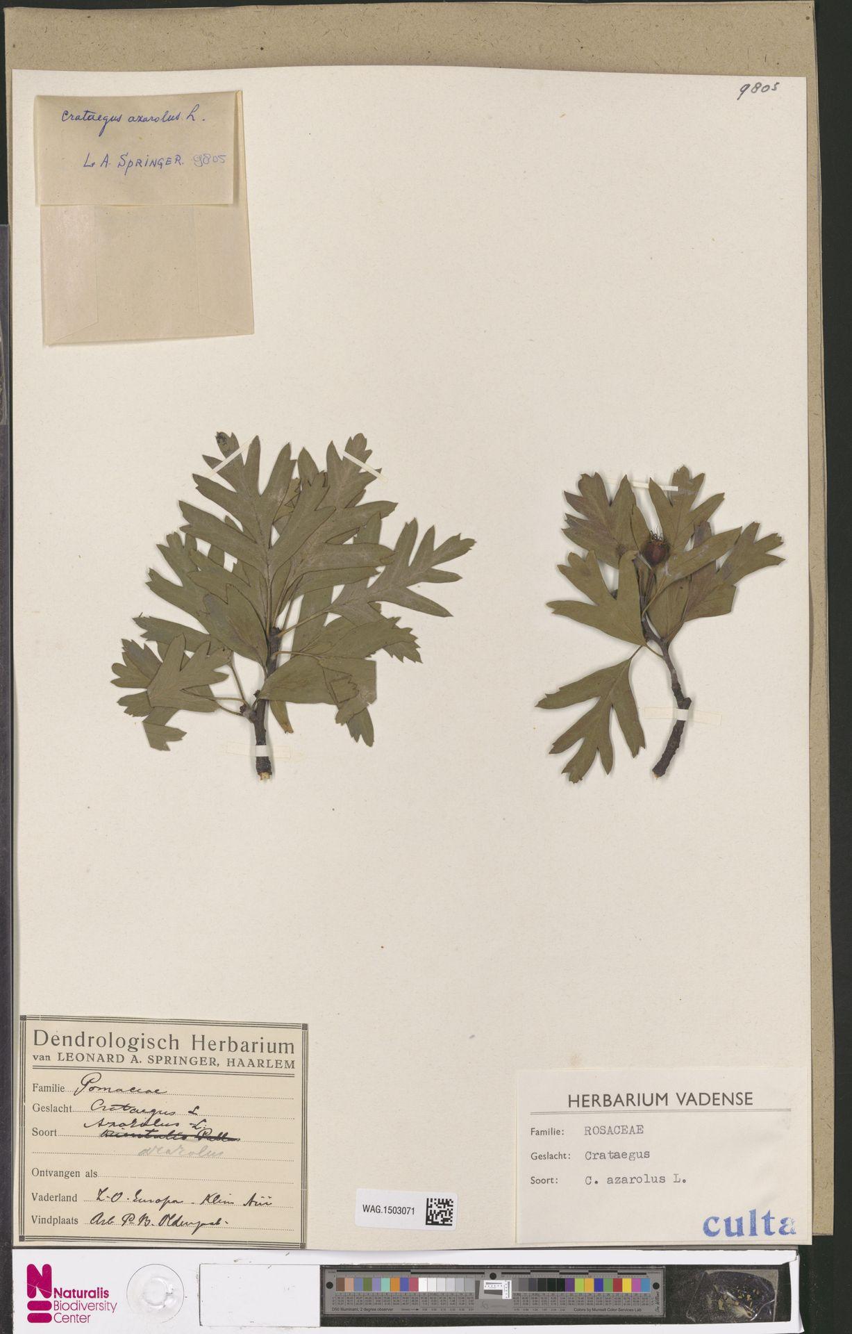WAG.1503071 | Crataegus azarolus L.
