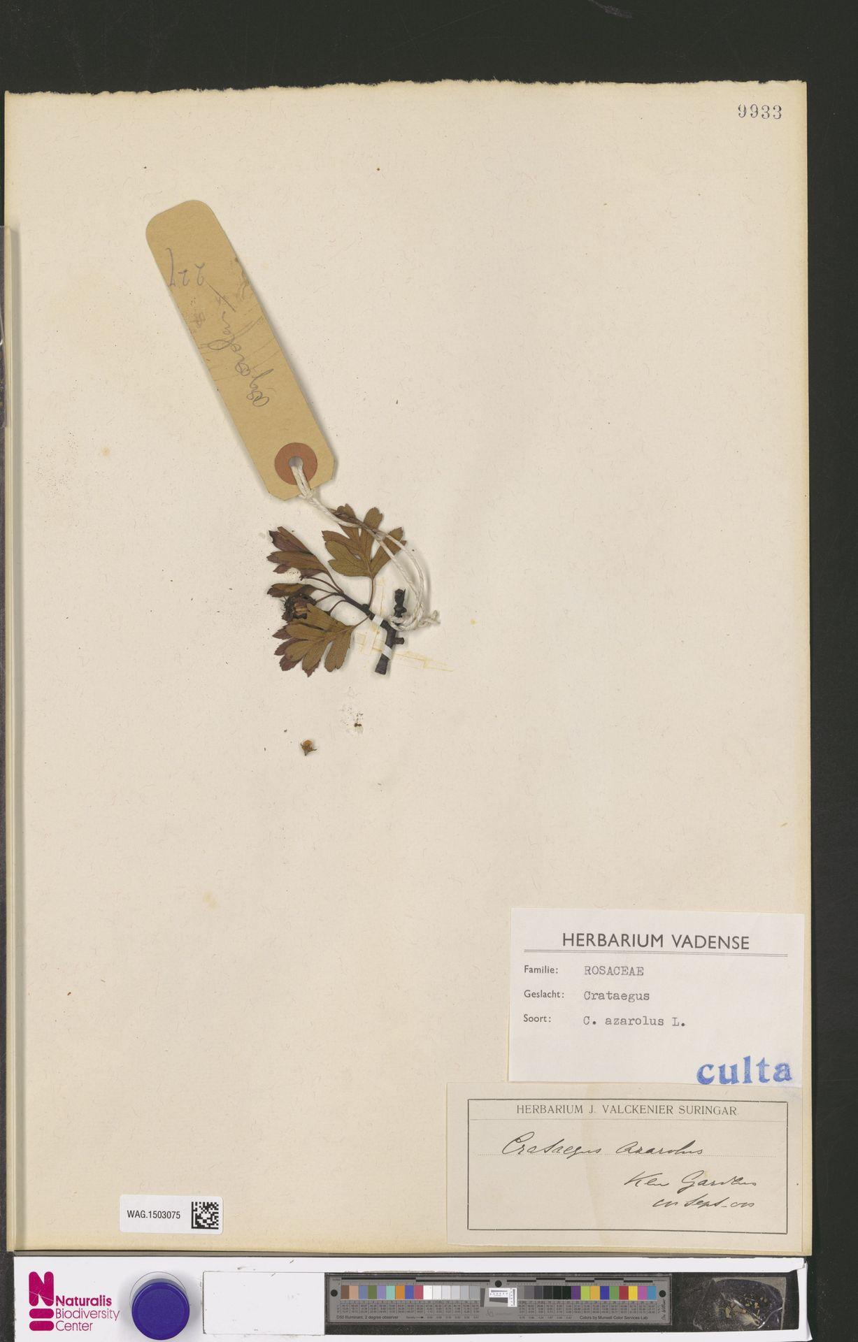 WAG.1503075 | Crataegus azarolus L.