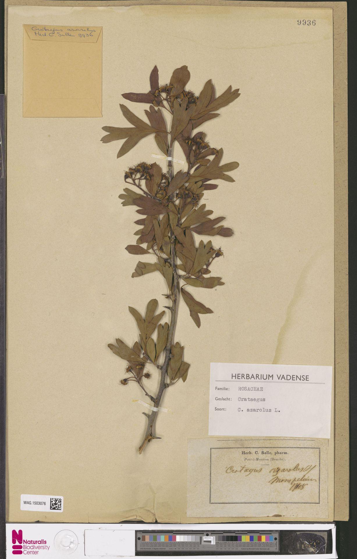 WAG.1503076 | Crataegus azarolus L.