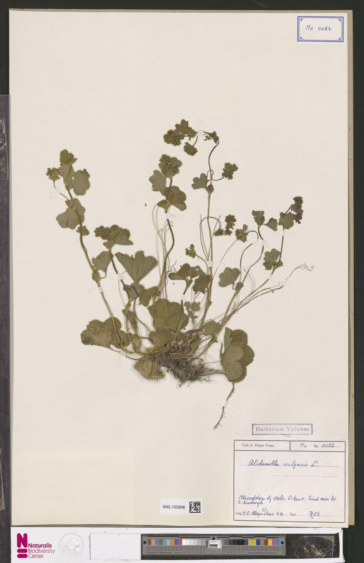 WAG.1503846 | Alchemilla vulgaris L.