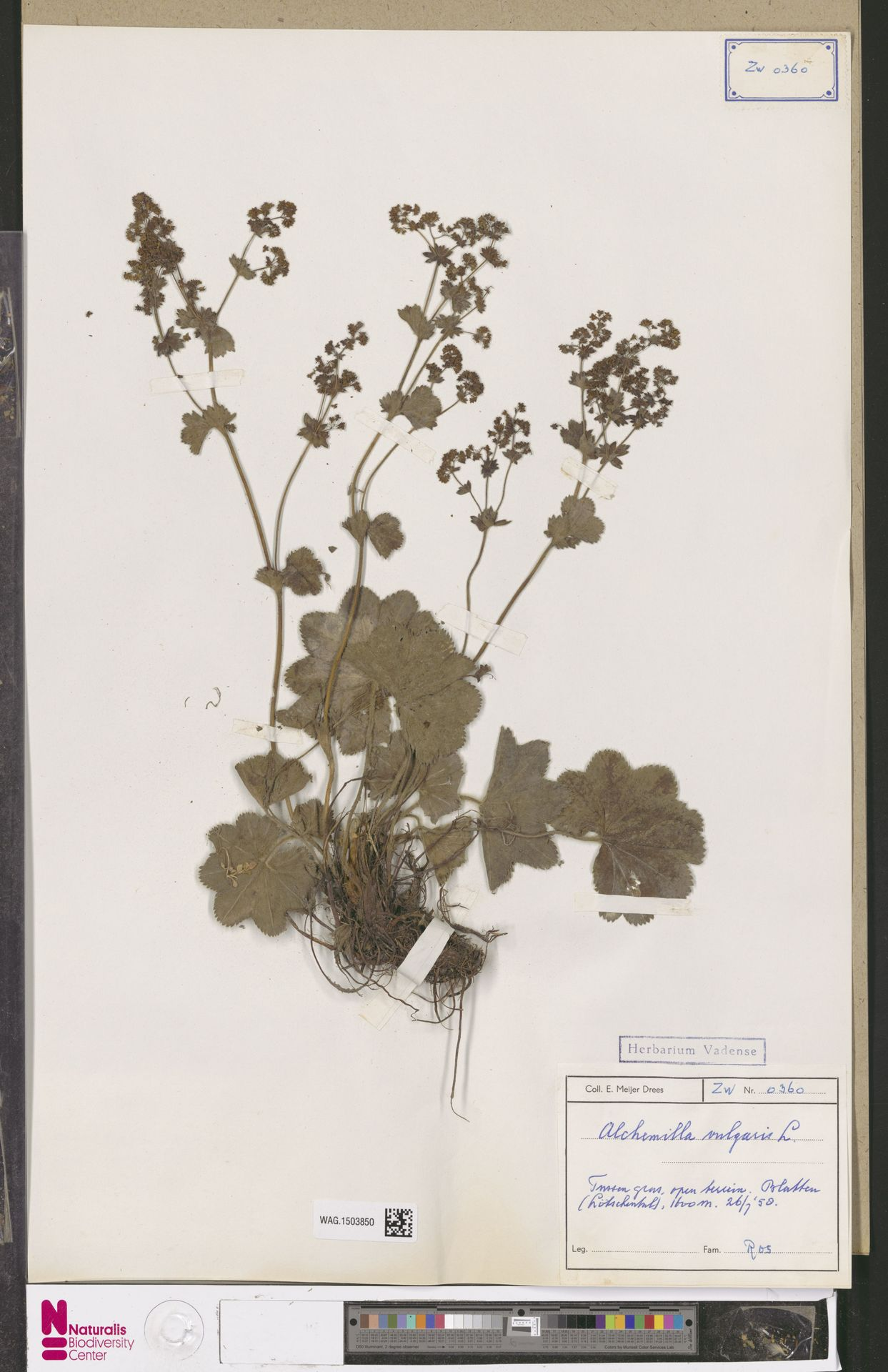 WAG.1503850 | Alchemilla vulgaris L.