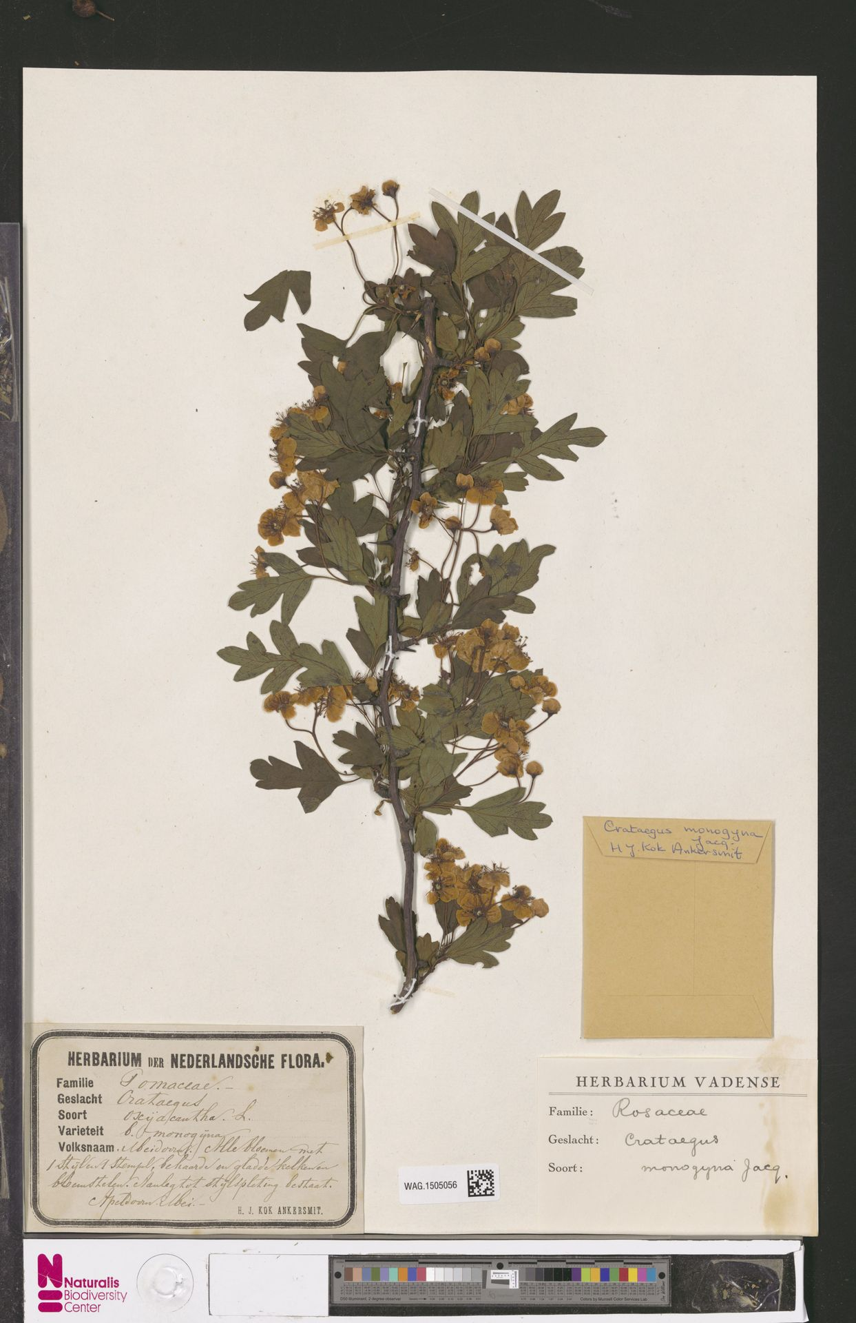 WAG.1505056 | Crataegus monogyna Jacq.