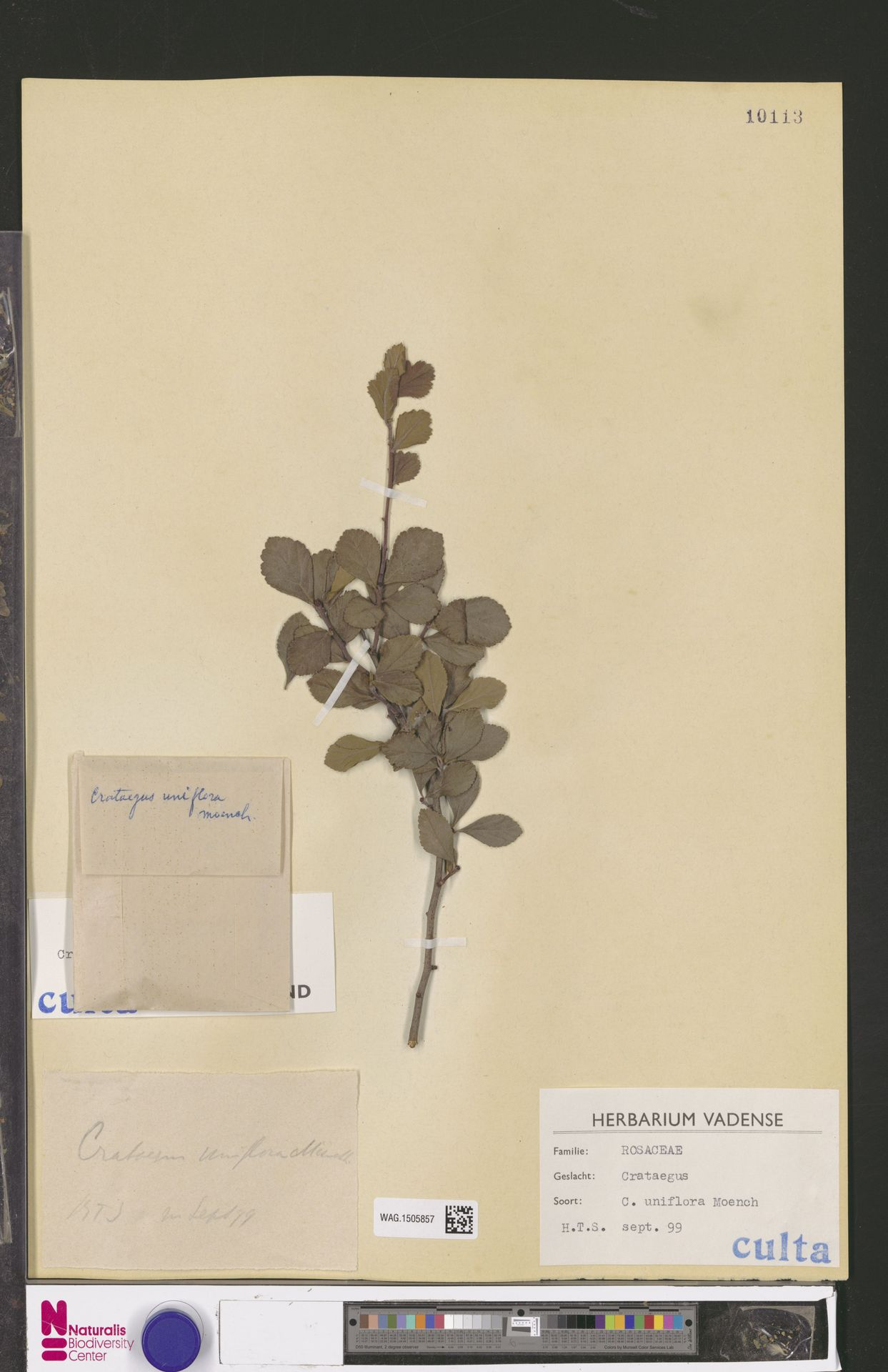 WAG.1505857 | Crataegus uniflora Münchh.