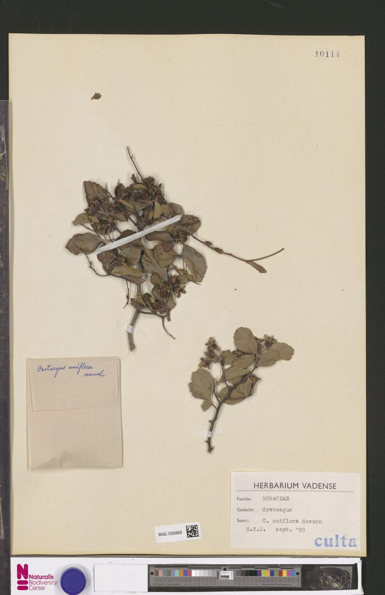 WAG.1505858 | Crataegus uniflora Münchh.