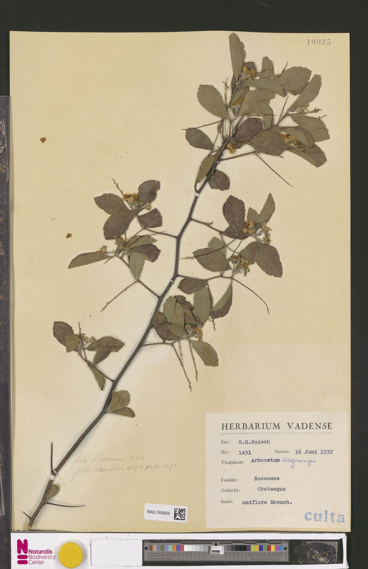 WAG.1505859 | Crataegus uniflora Münchh.