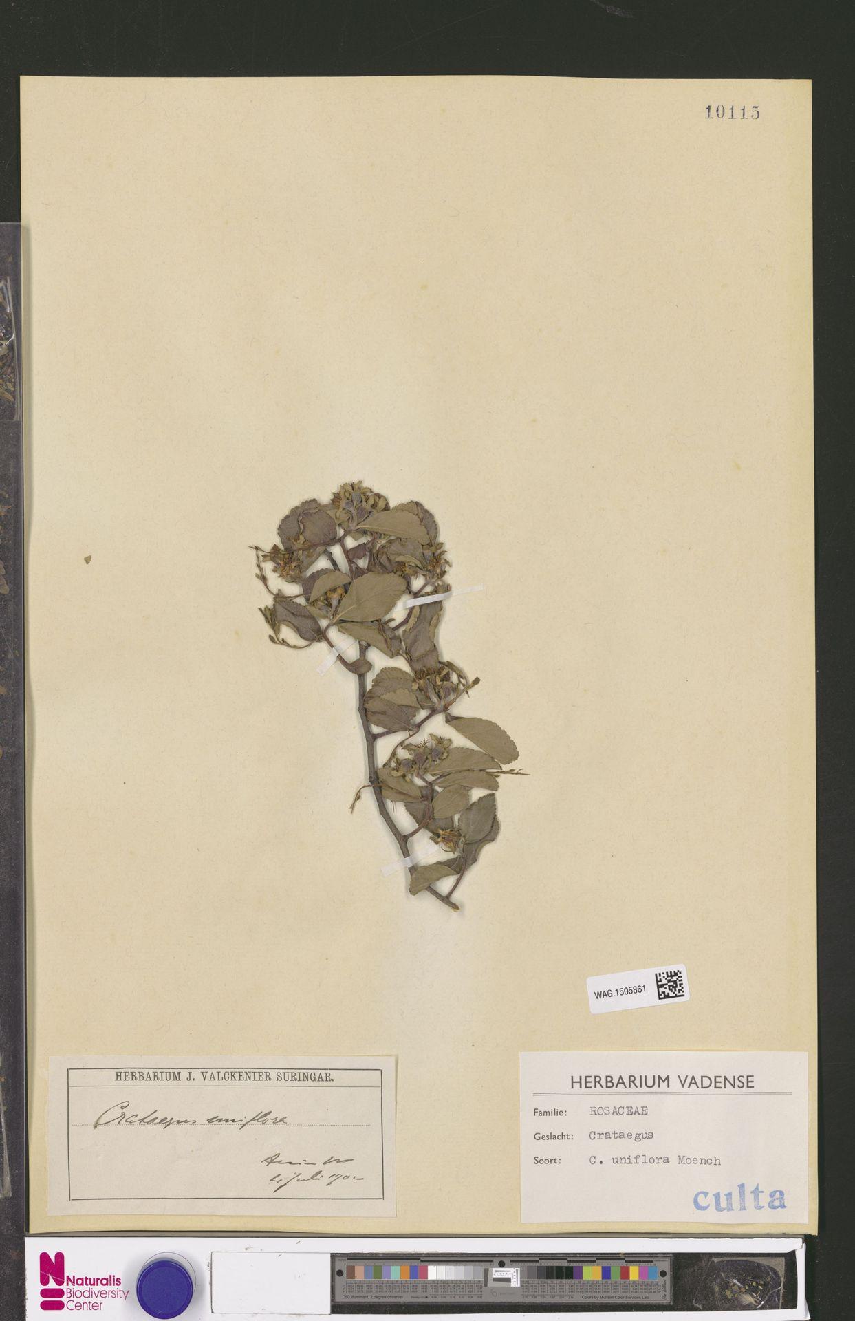 WAG.1505861 | Crataegus uniflora Münchh.