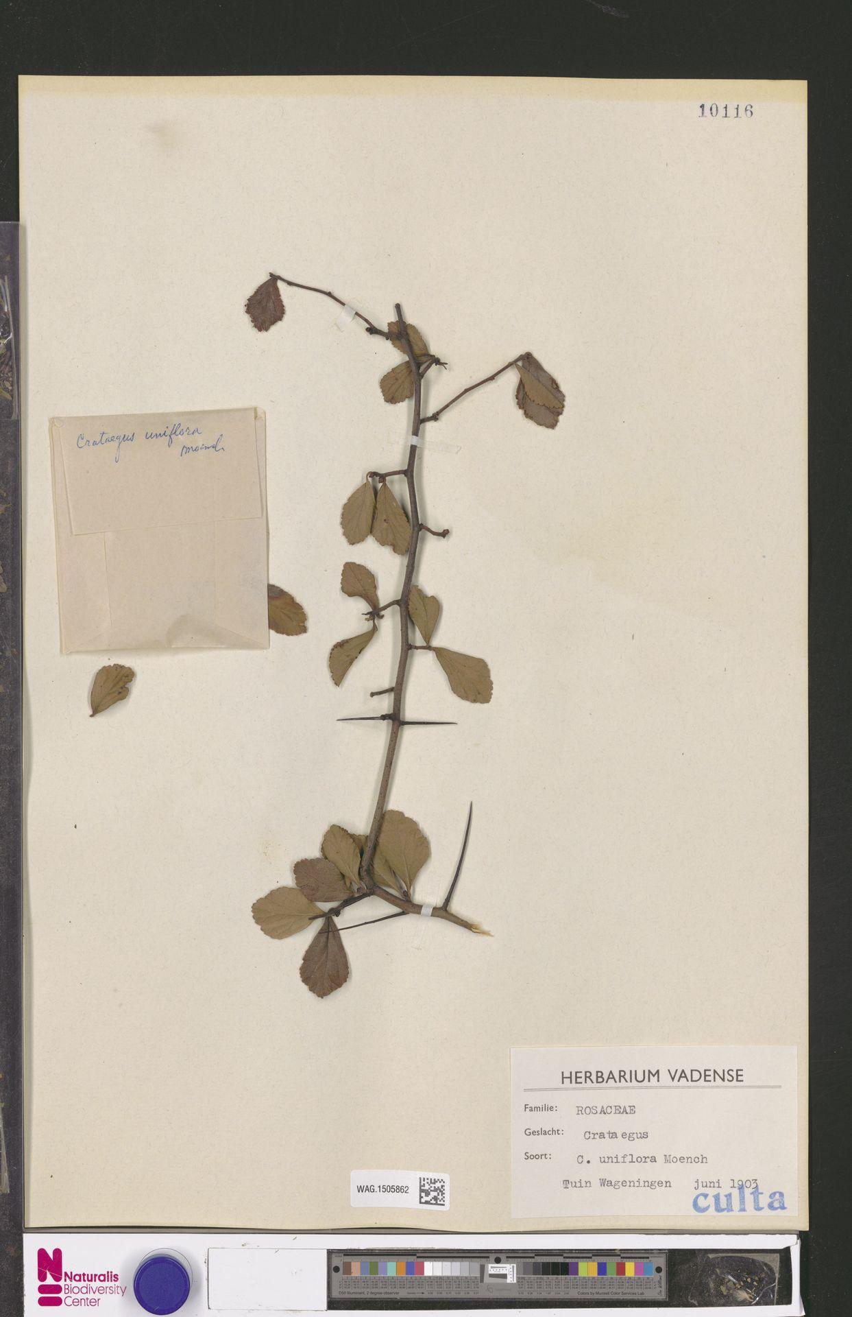 WAG.1505862 | Crataegus uniflora Münchh.