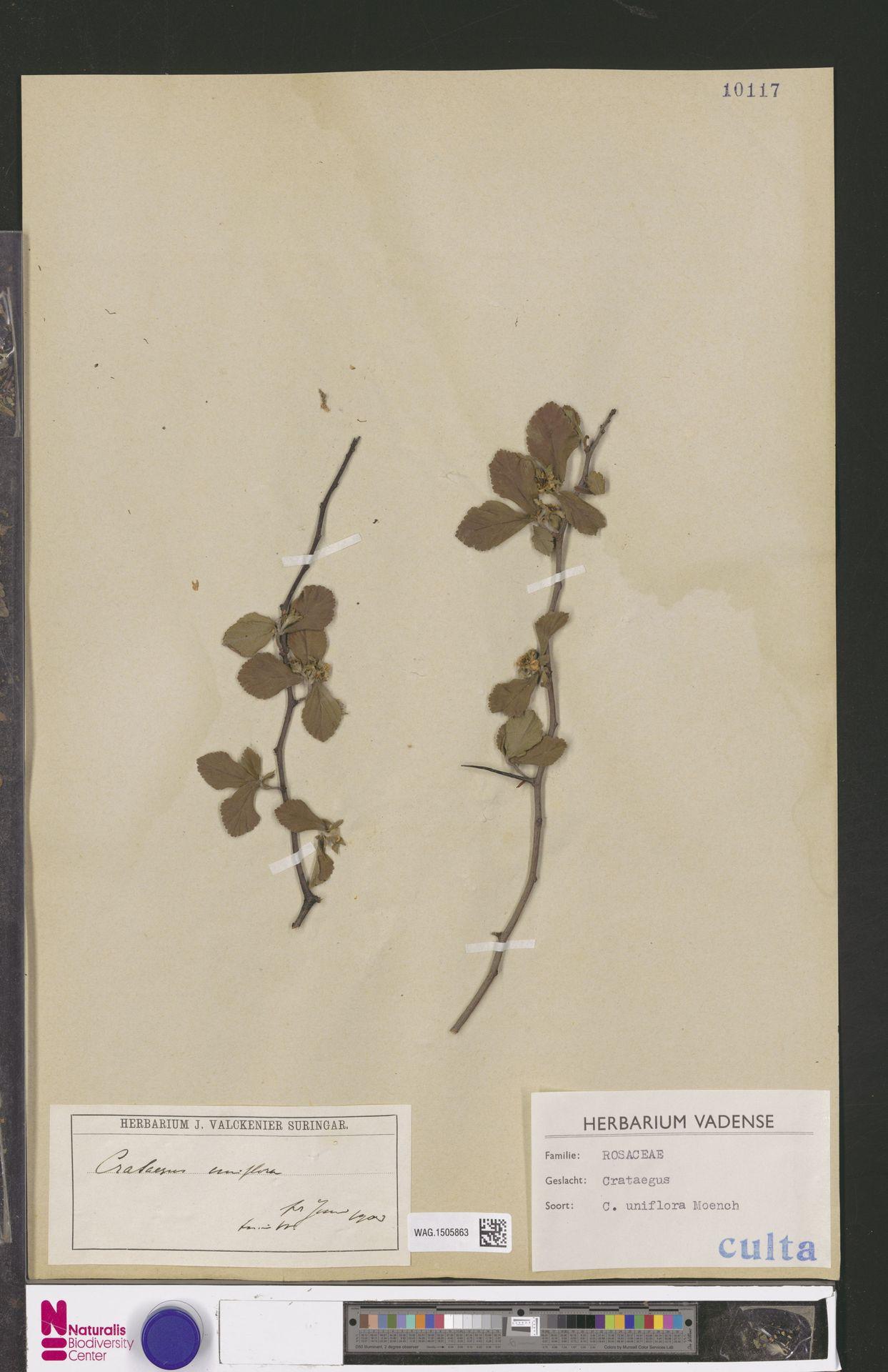 WAG.1505863 | Crataegus uniflora Münchh.