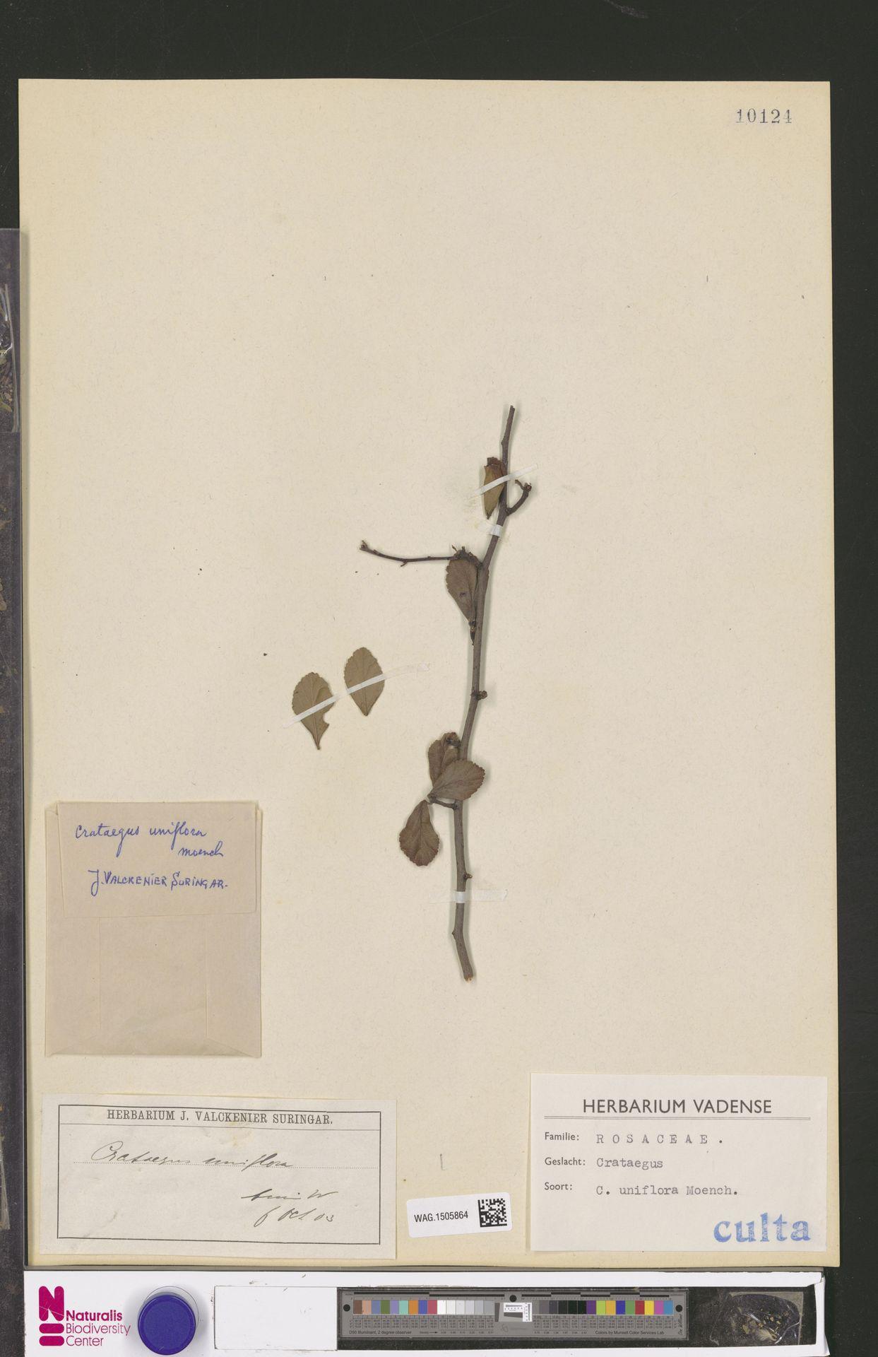 WAG.1505864 | Crataegus uniflora Münchh.