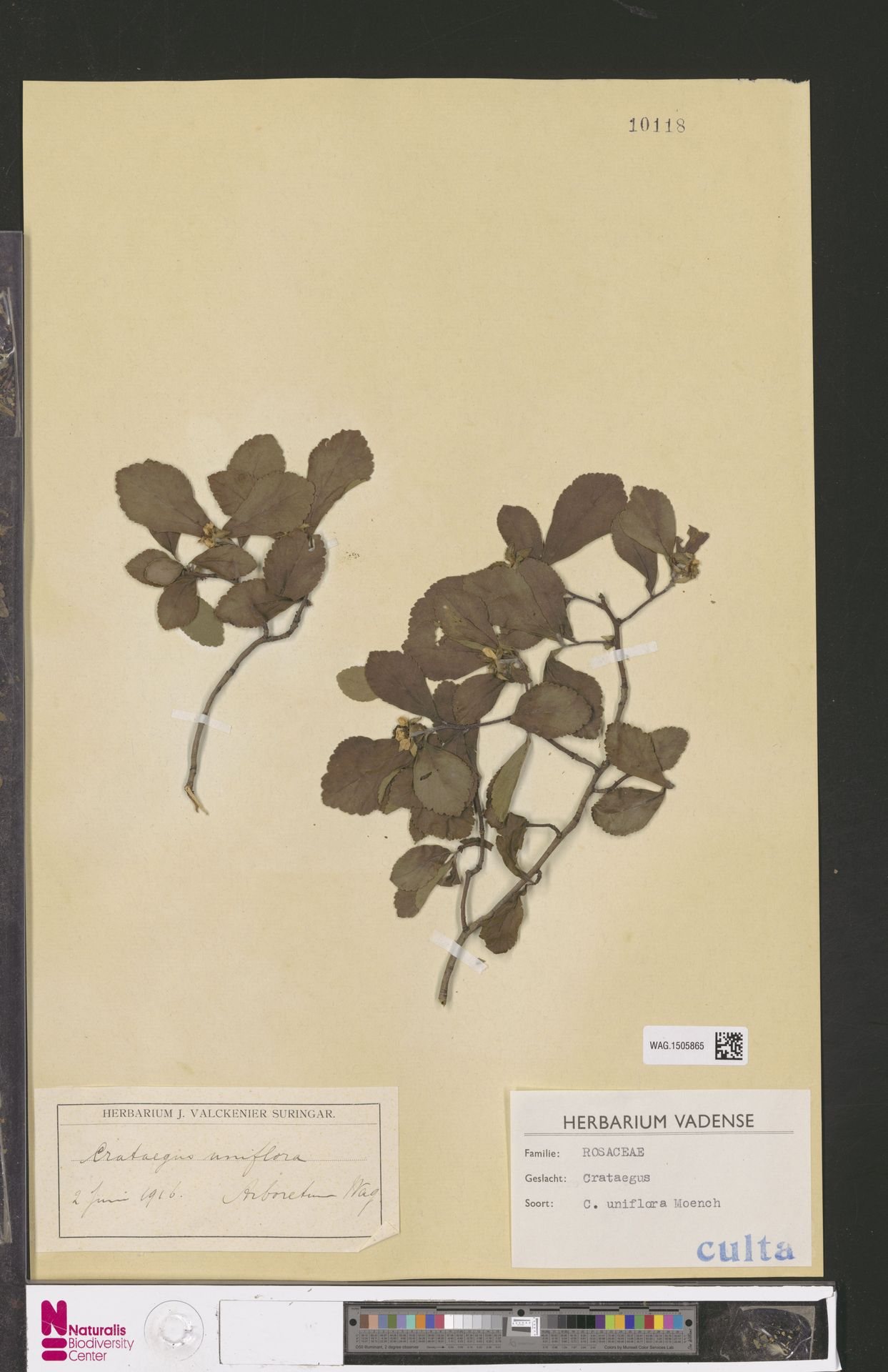 WAG.1505865   Crataegus uniflora Münchh.