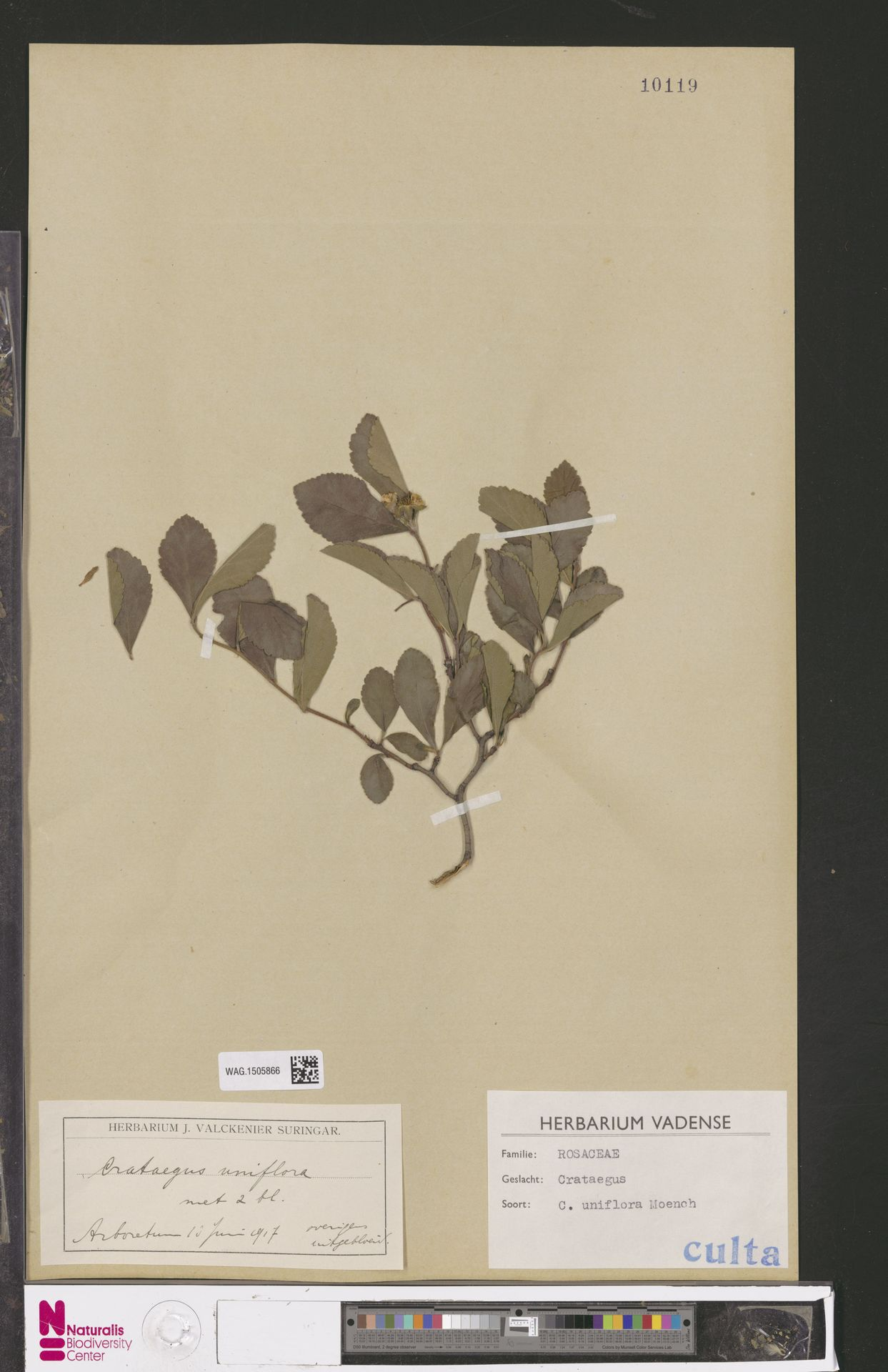 WAG.1505866   Crataegus uniflora Münchh.