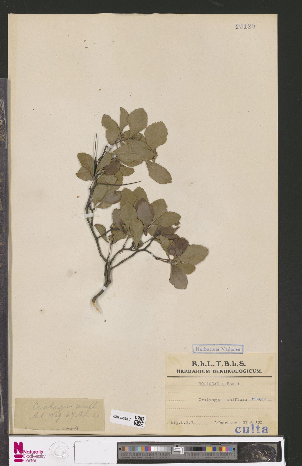 WAG.1505867 | Crataegus uniflora Münchh.