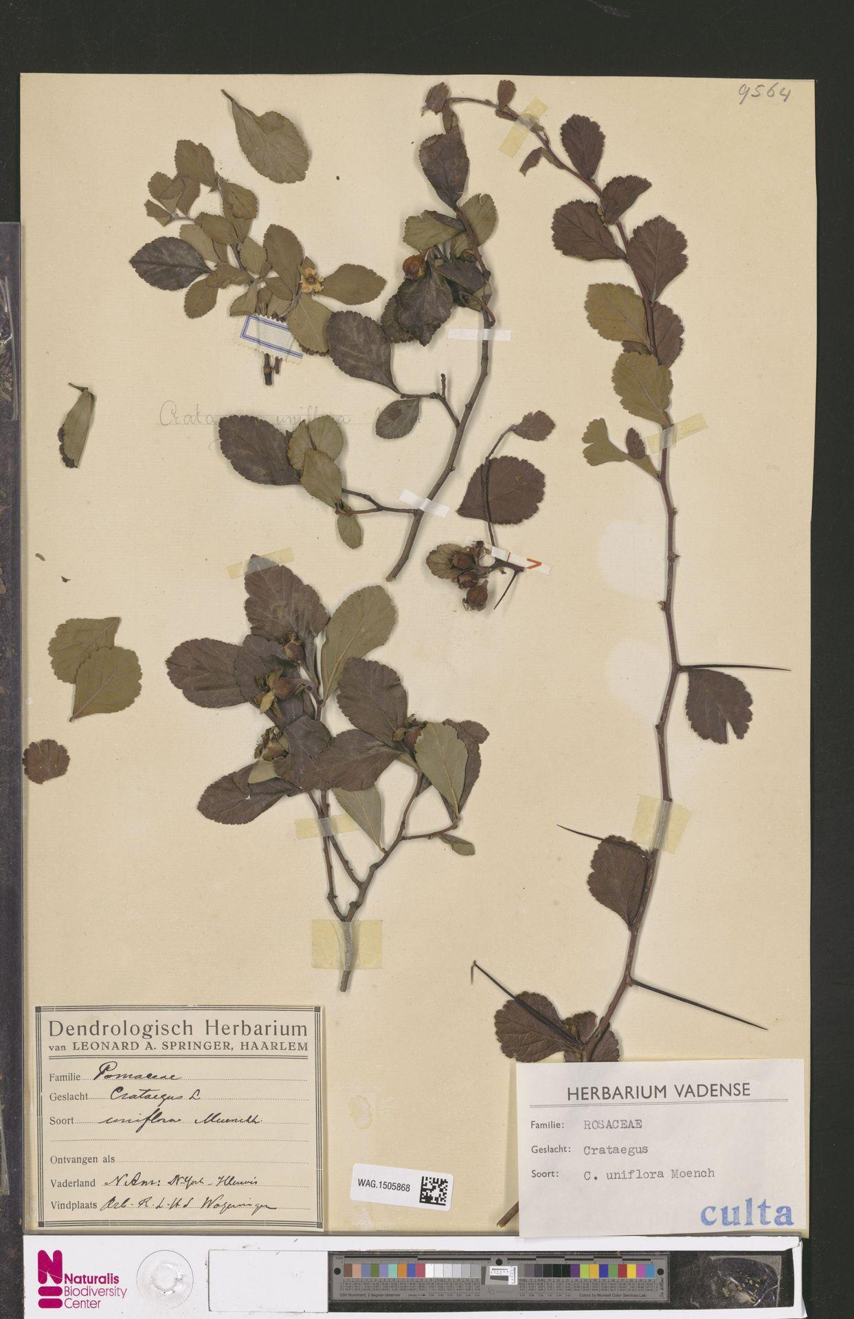 WAG.1505868 | Crataegus uniflora Münchh.