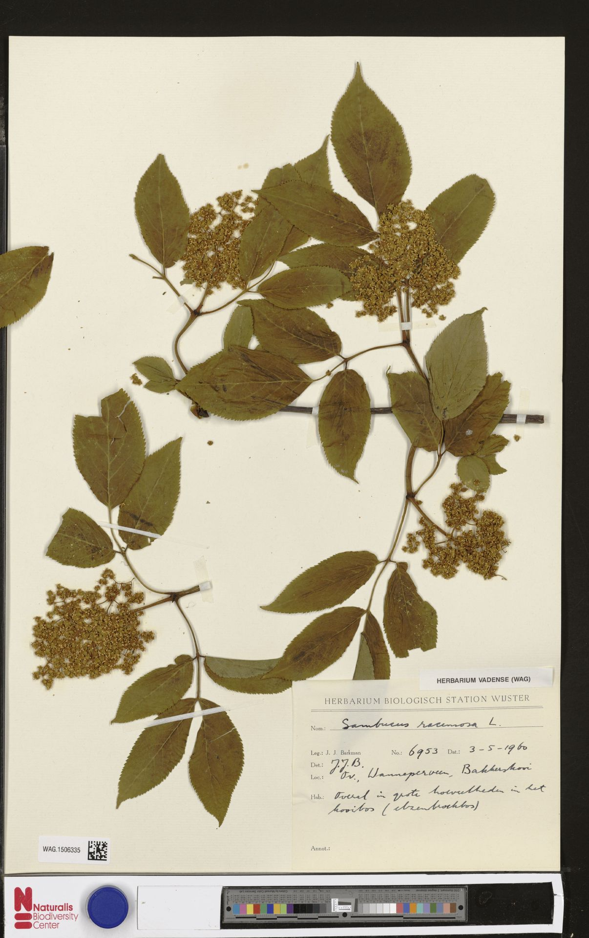 WAG.1506335   Sambucus racemosa L.