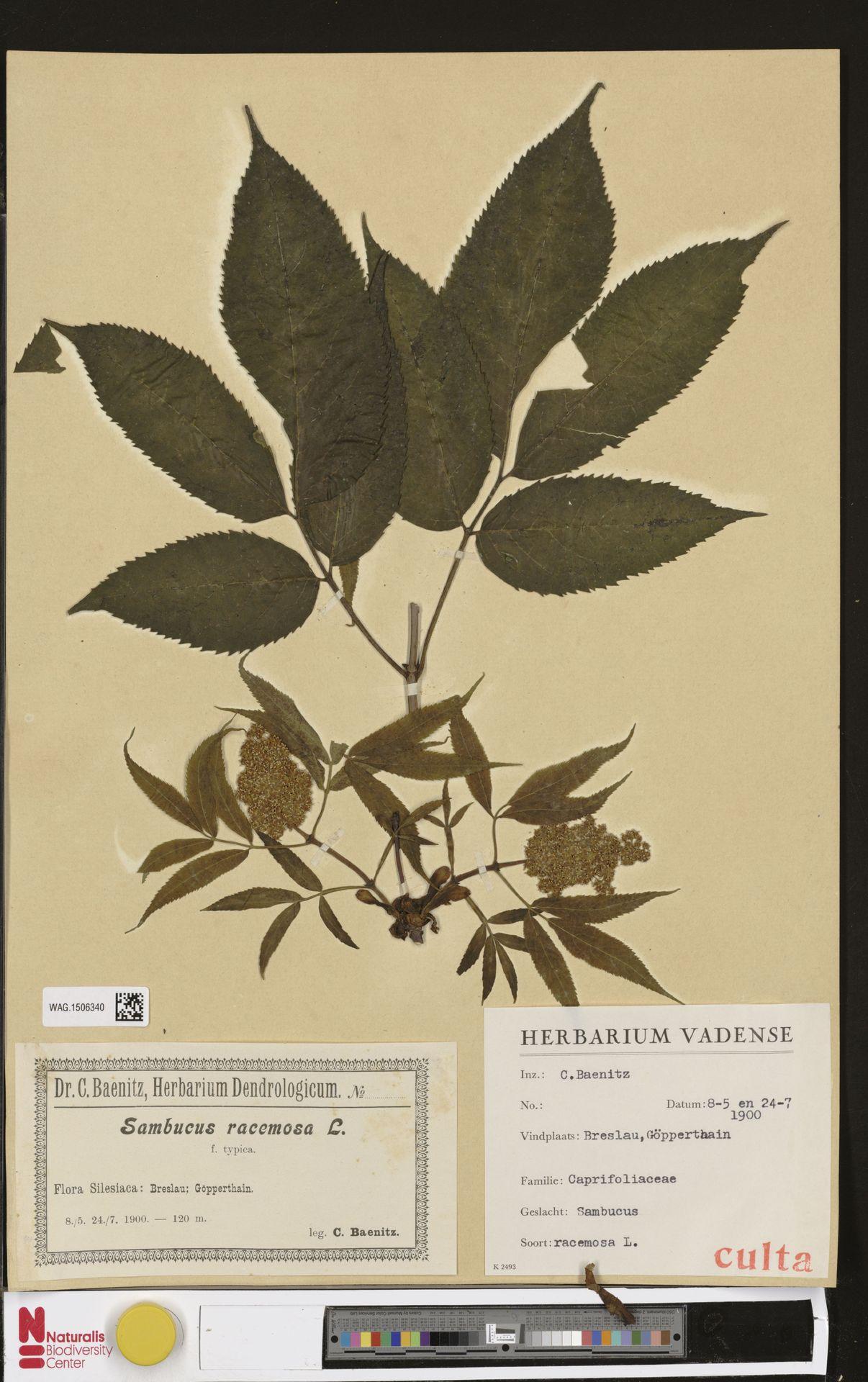 WAG.1506340 | Sambucus racemosa L.