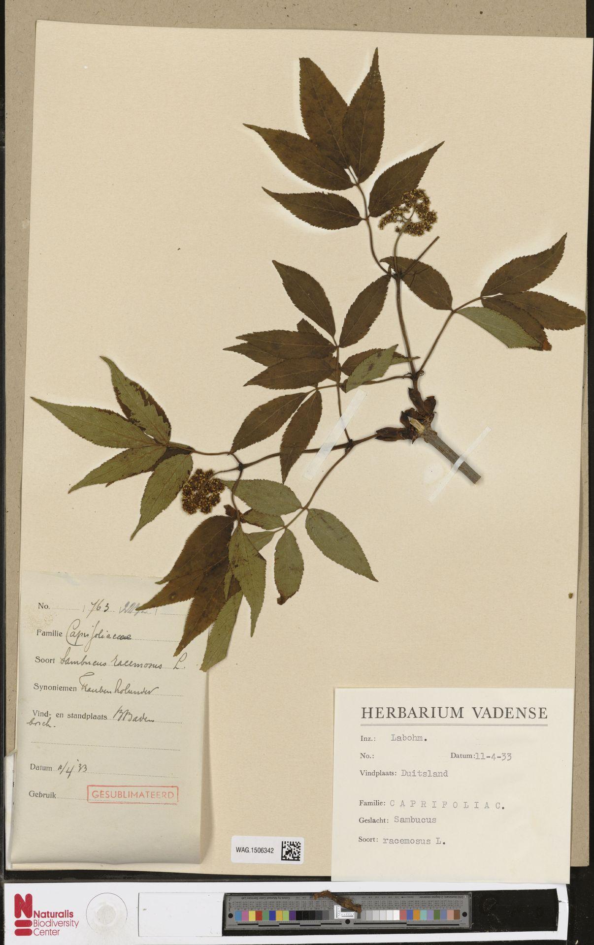 WAG.1506342 | Sambucus racemosa L.