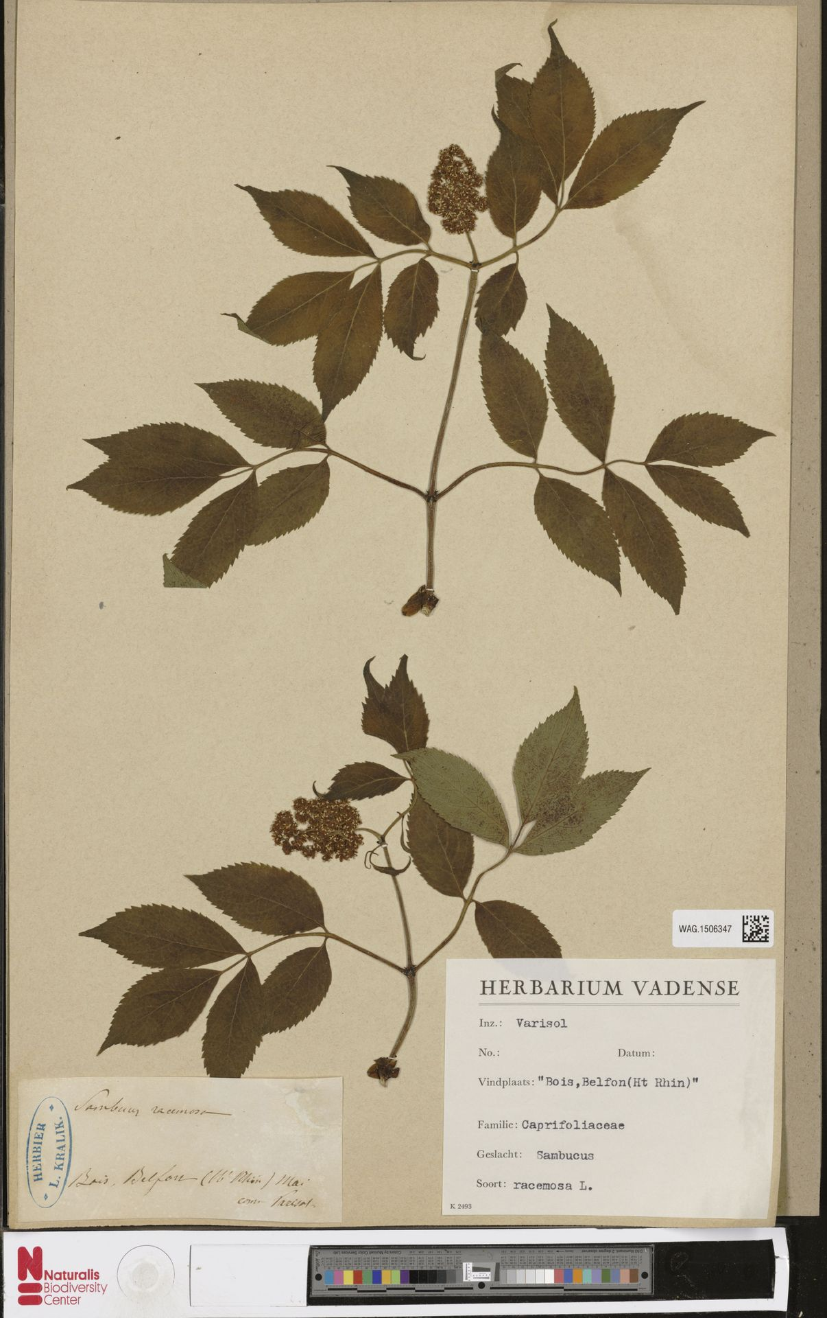 WAG.1506347   Sambucus racemosa L.