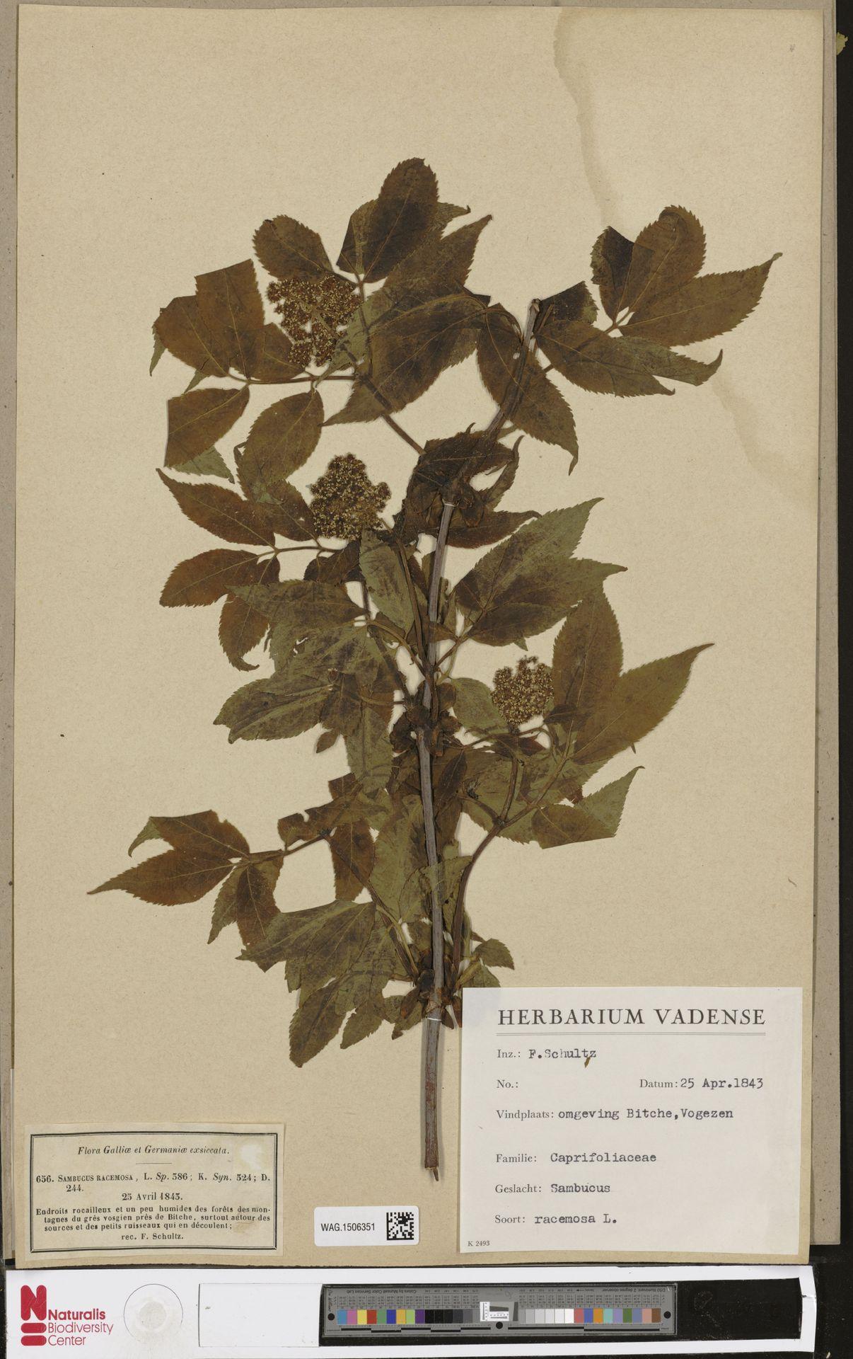 WAG.1506351 | Sambucus racemosa L.