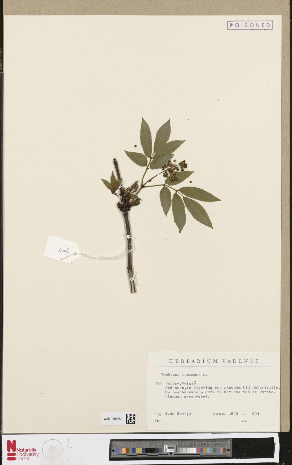 WAG.1506358 | Sambucus racemosa L.