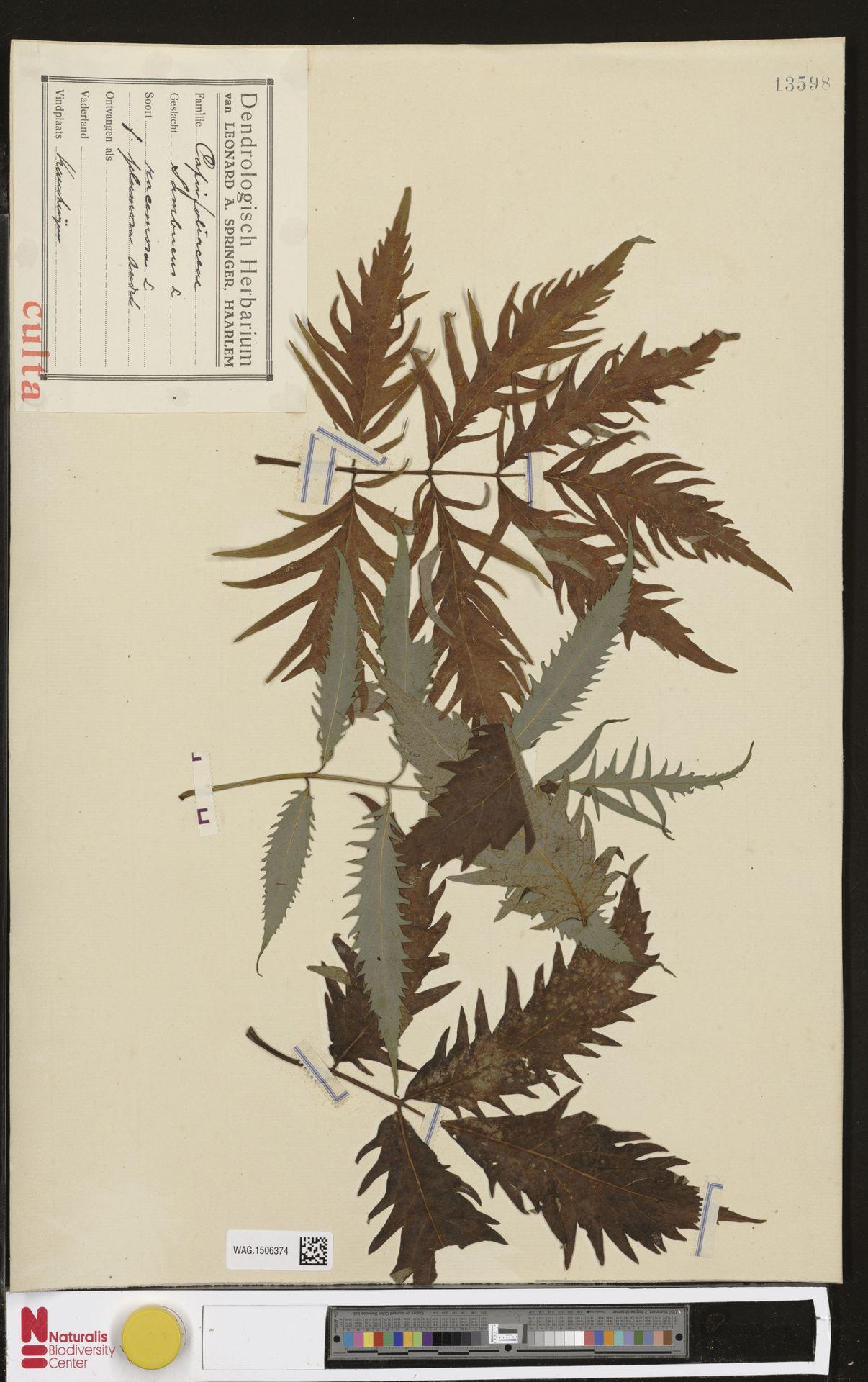 WAG.1506374 | Sambucus racemosa L.