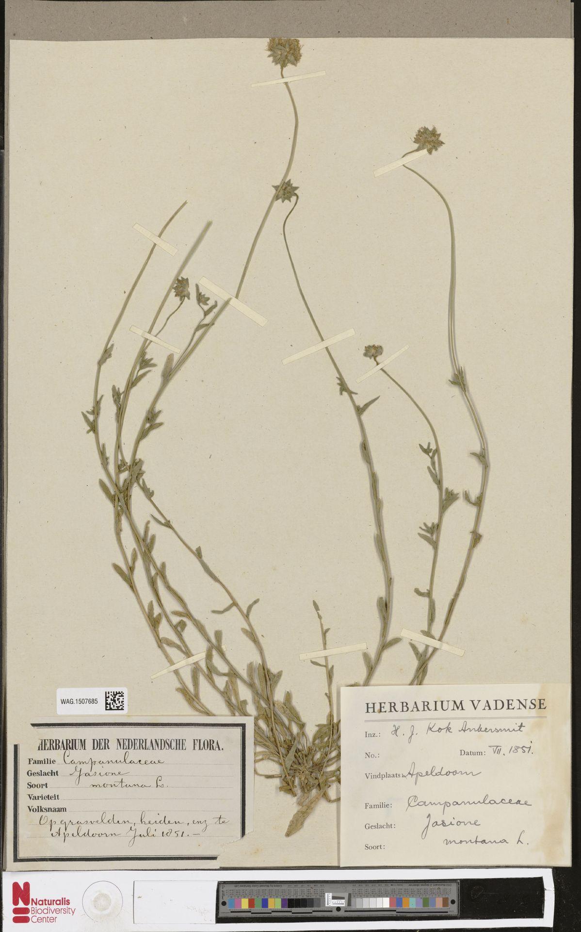 WAG.1507685 | Jasione montana L.