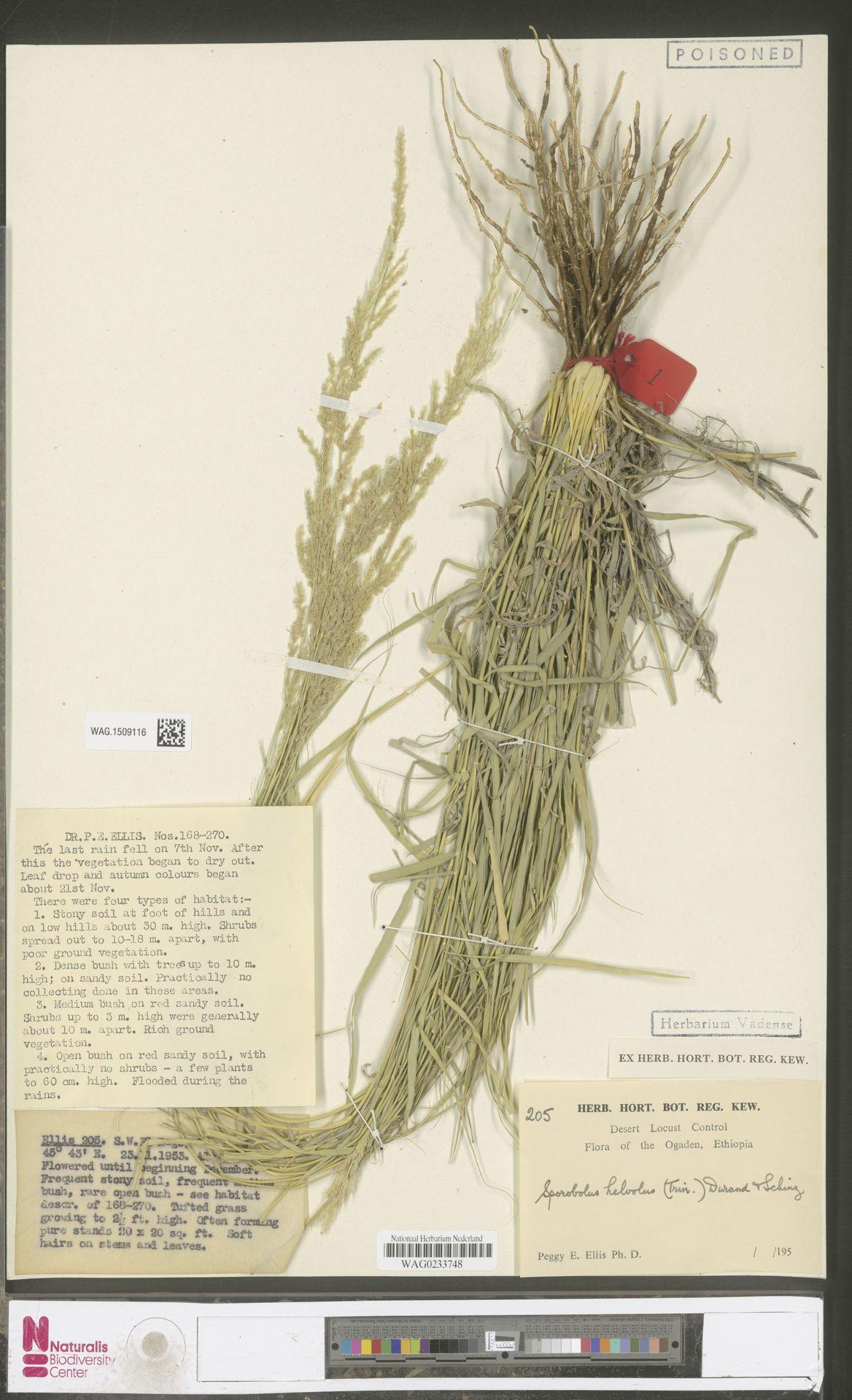 WAG.1509116 | Sporobolus helvolus (Trin.) T.Durand & Schinz