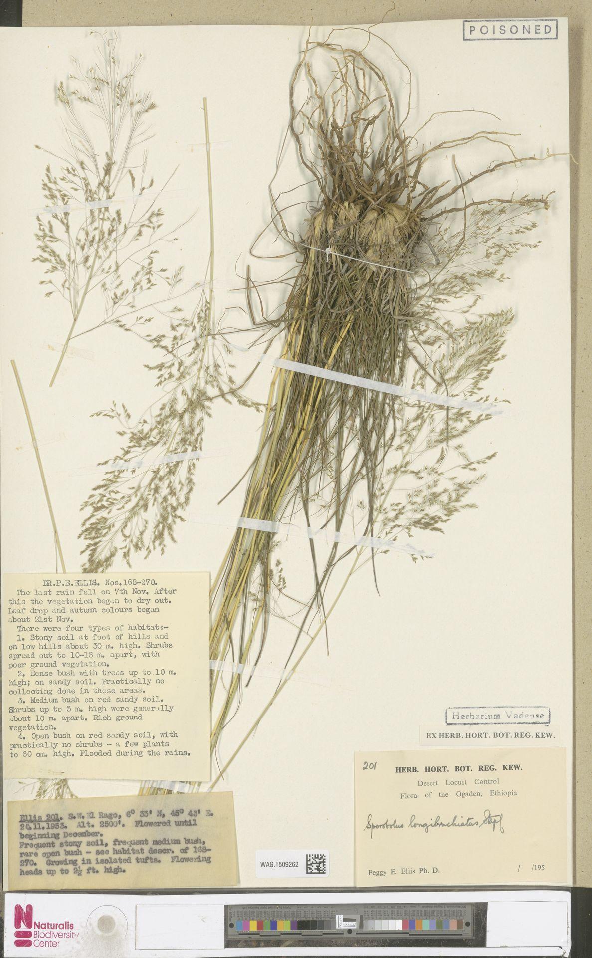 WAG.1509262   Sporobolus longibrachiatus Stapf