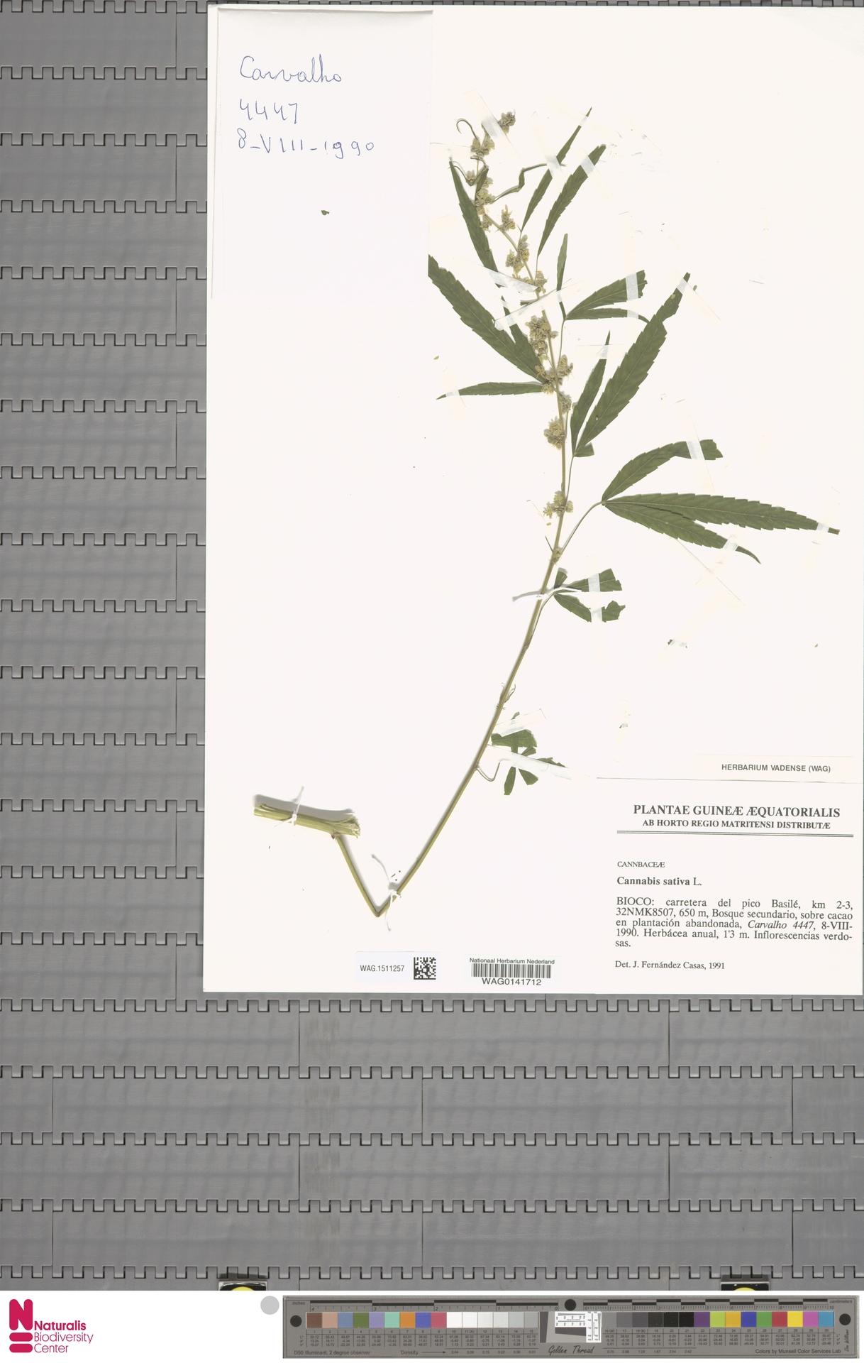 WAG.1511257   Cannabis sativa L.