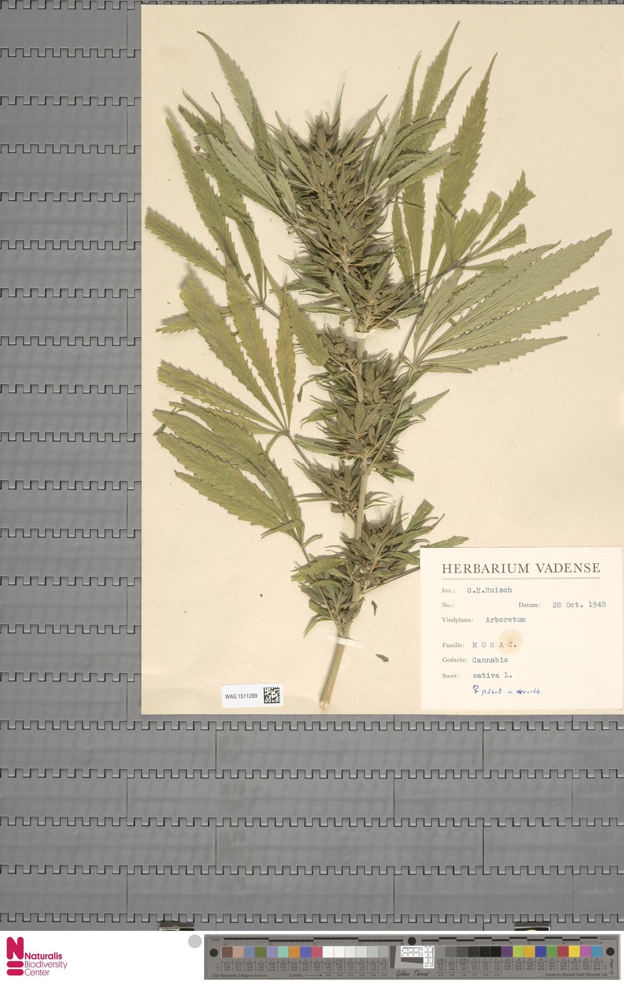 WAG.1511289 | Cannabis sativa L.