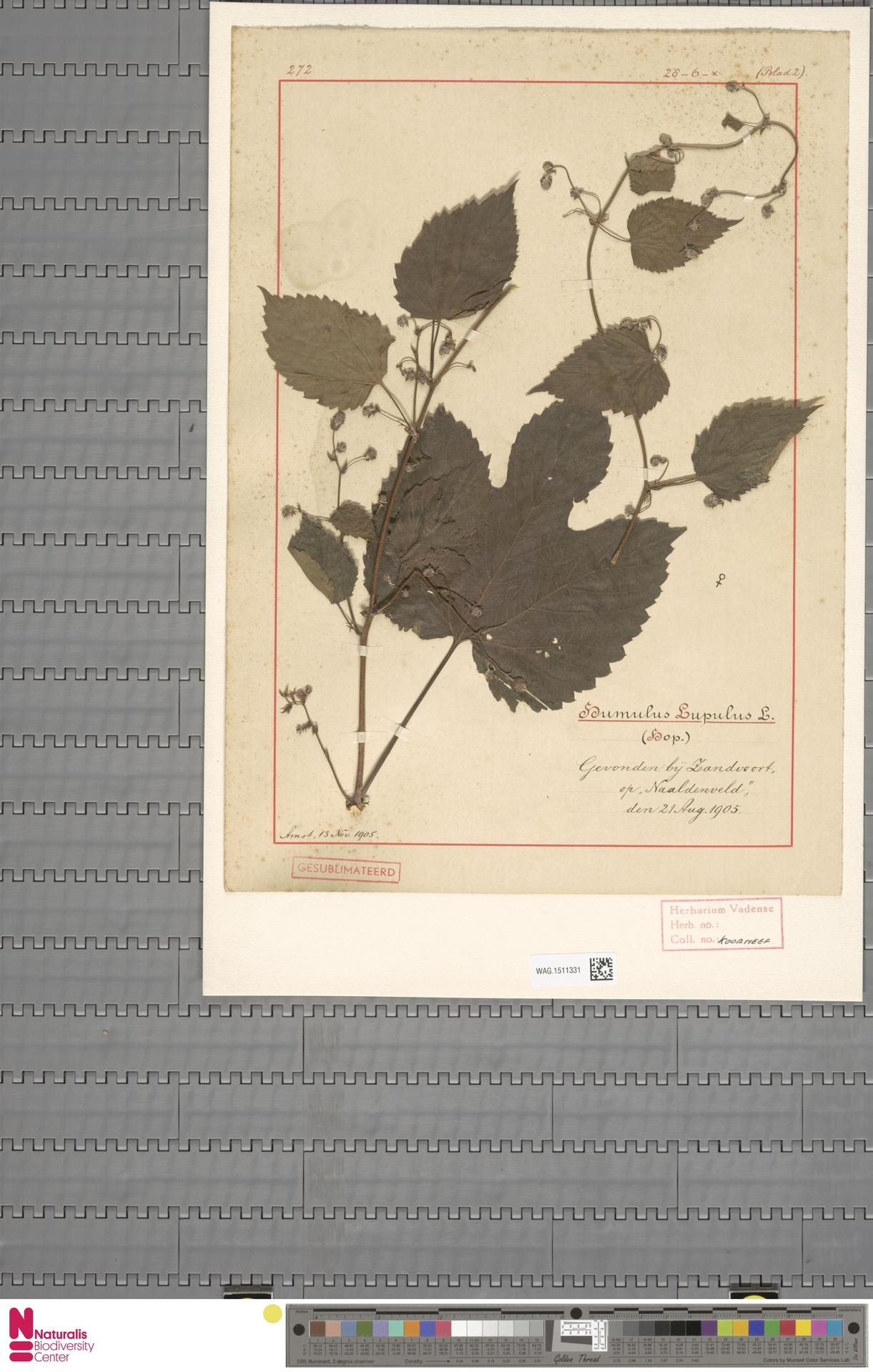 WAG.1511331 | Humulus lupulus L.