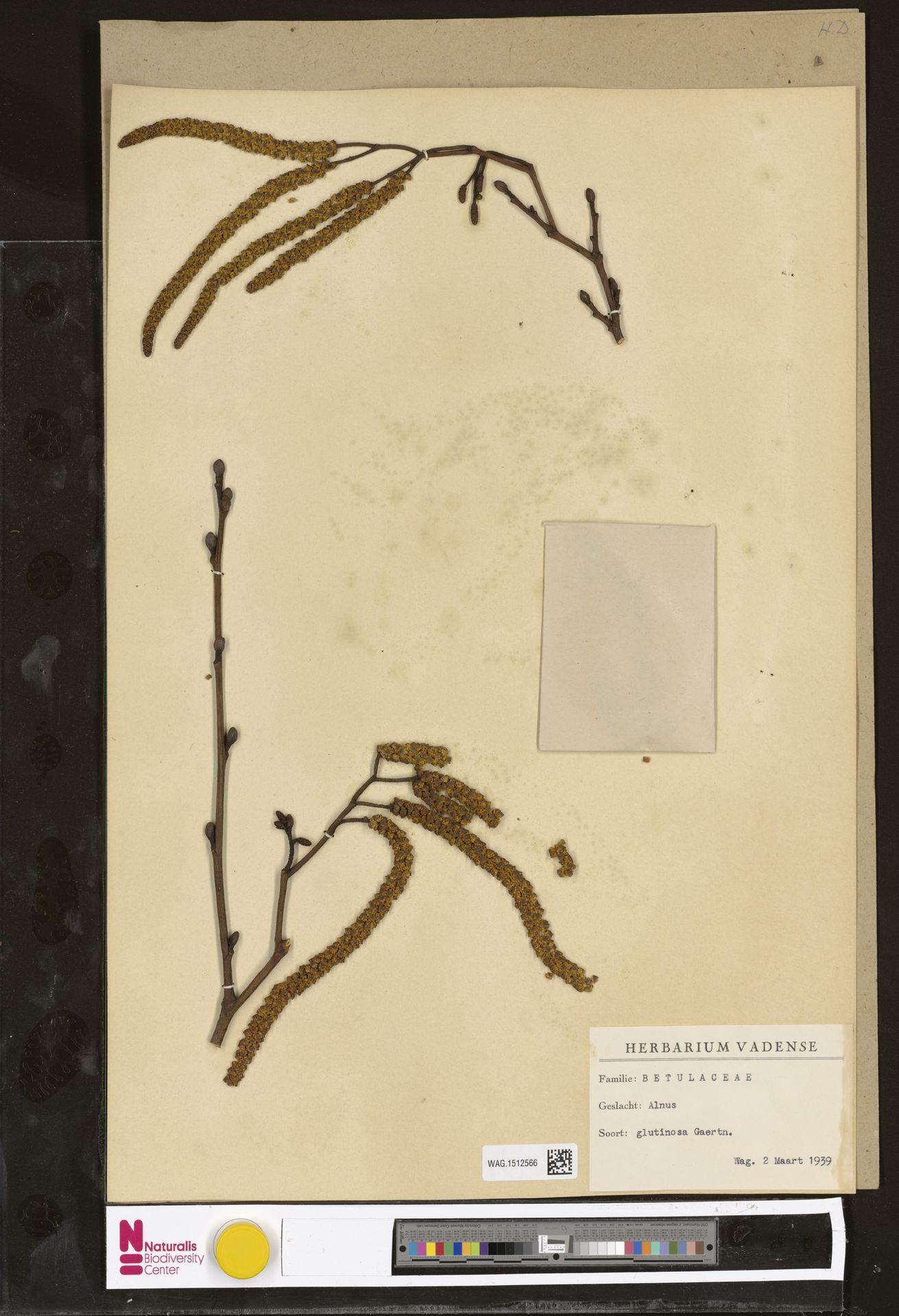 WAG.1512566 | Alnus glutinosa (L.) Gaertn.