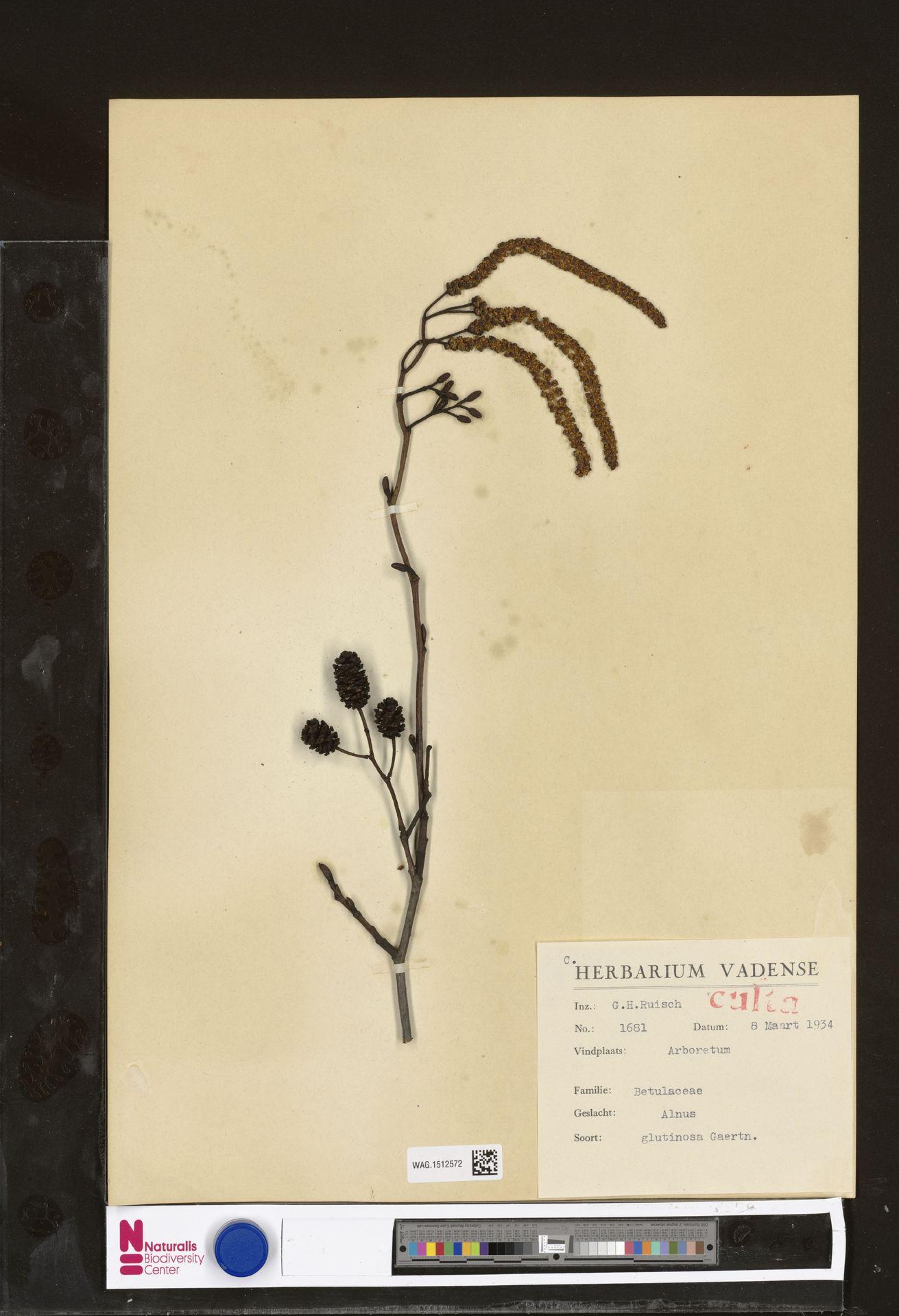 WAG.1512572 | Alnus glutinosa (L.) Gaertn.