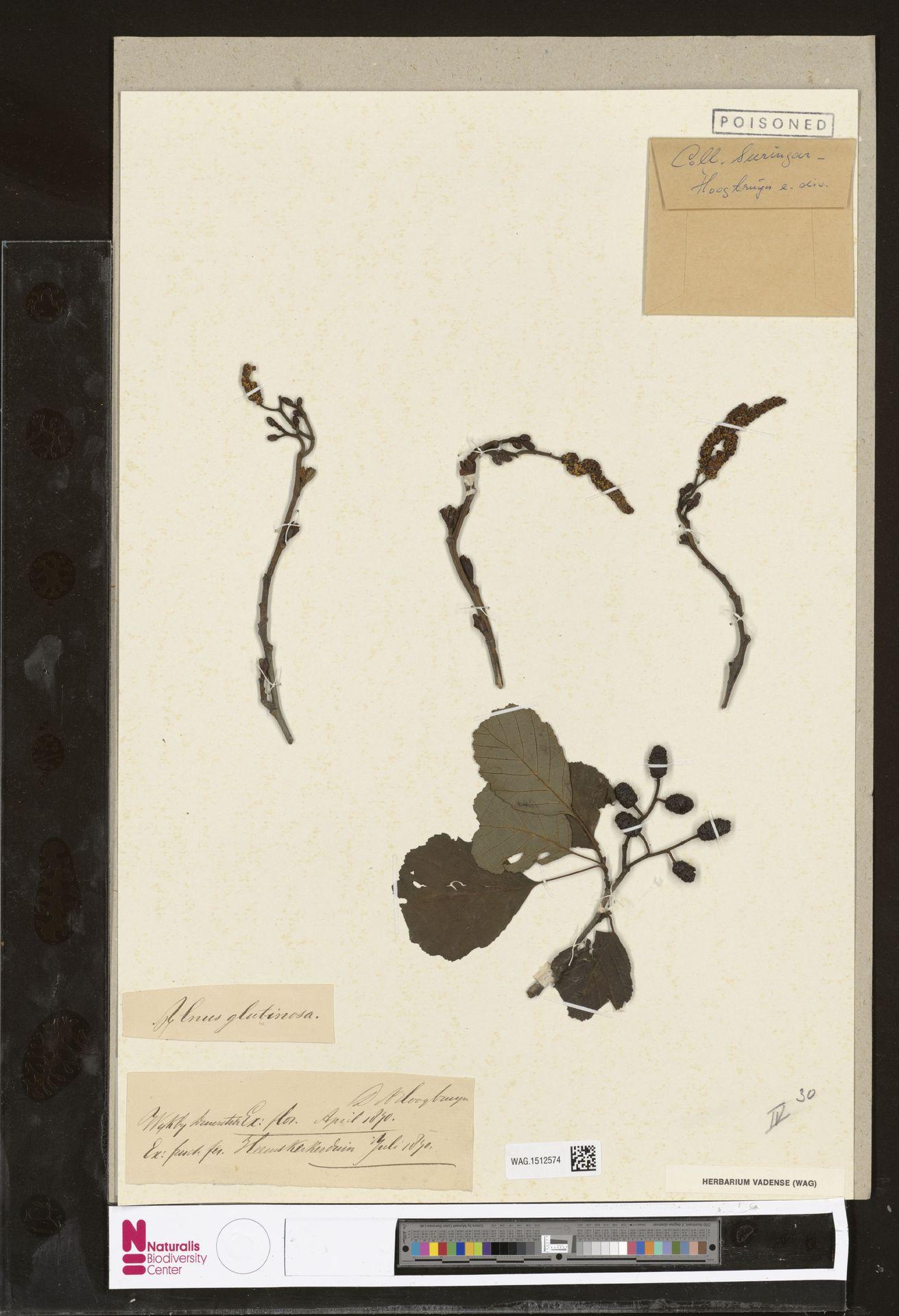 WAG.1512574 | Alnus glutinosa (L.) Gaertn.