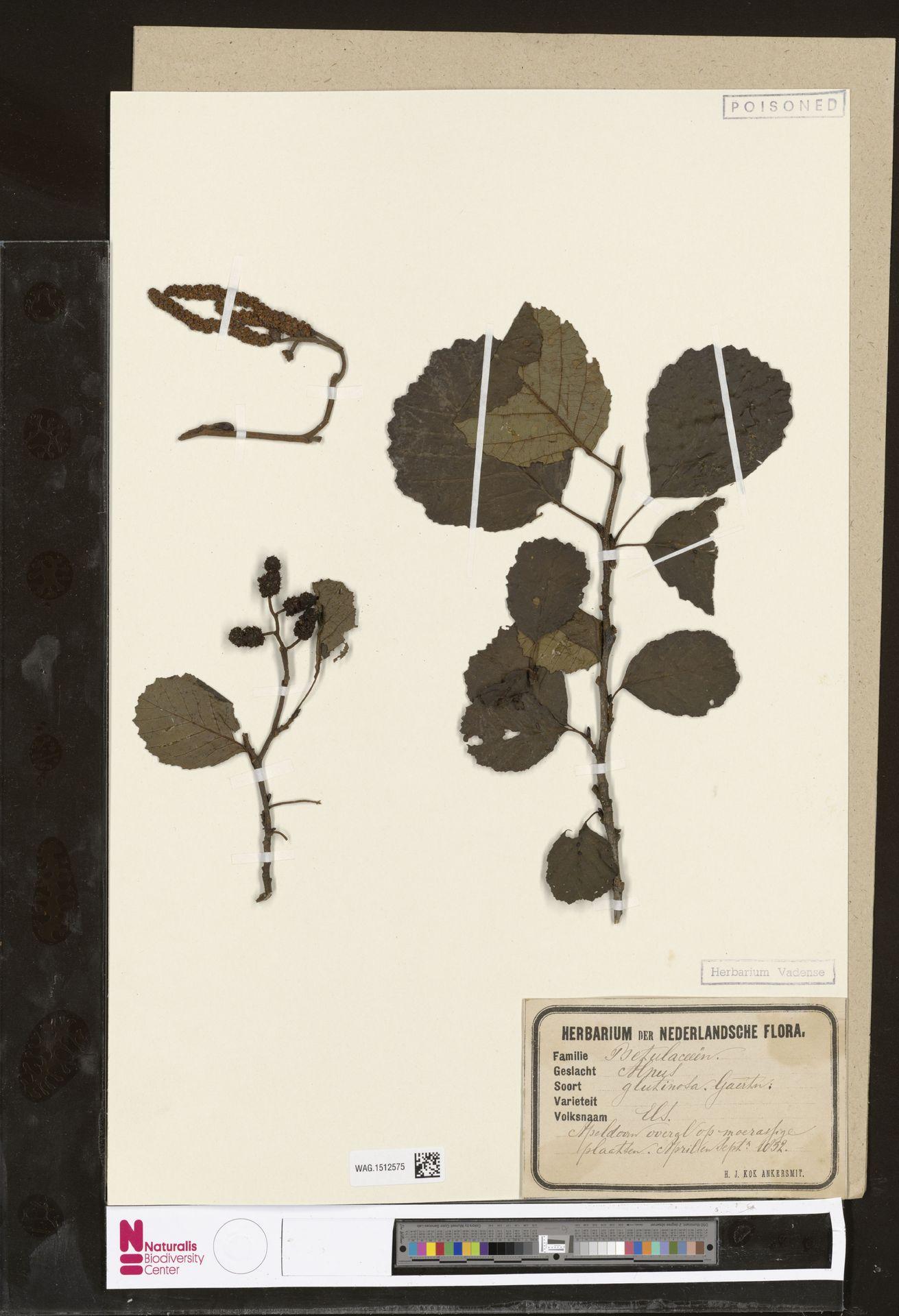 WAG.1512575 | Alnus glutinosa (L.) Gaertn.