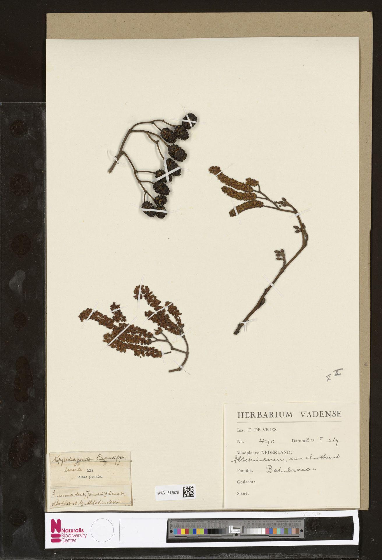 WAG.1512578 | Alnus glutinosa (L.) Gaertn.