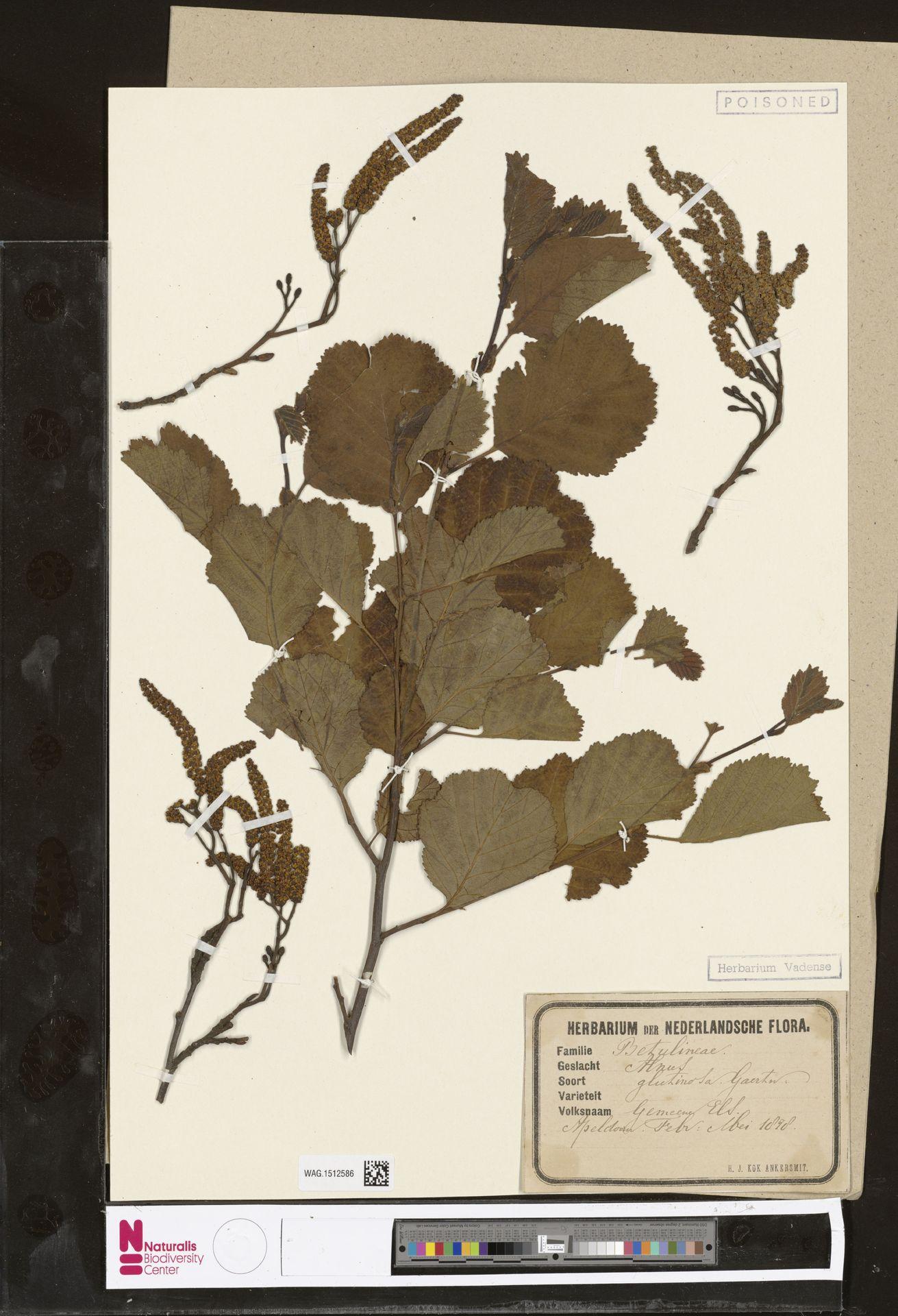 WAG.1512586 | Alnus glutinosa (L.) Gaertn.